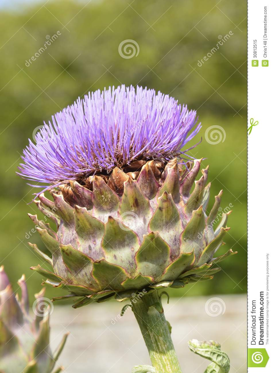 giant ornamental scottish thistle royalty free stock photo image