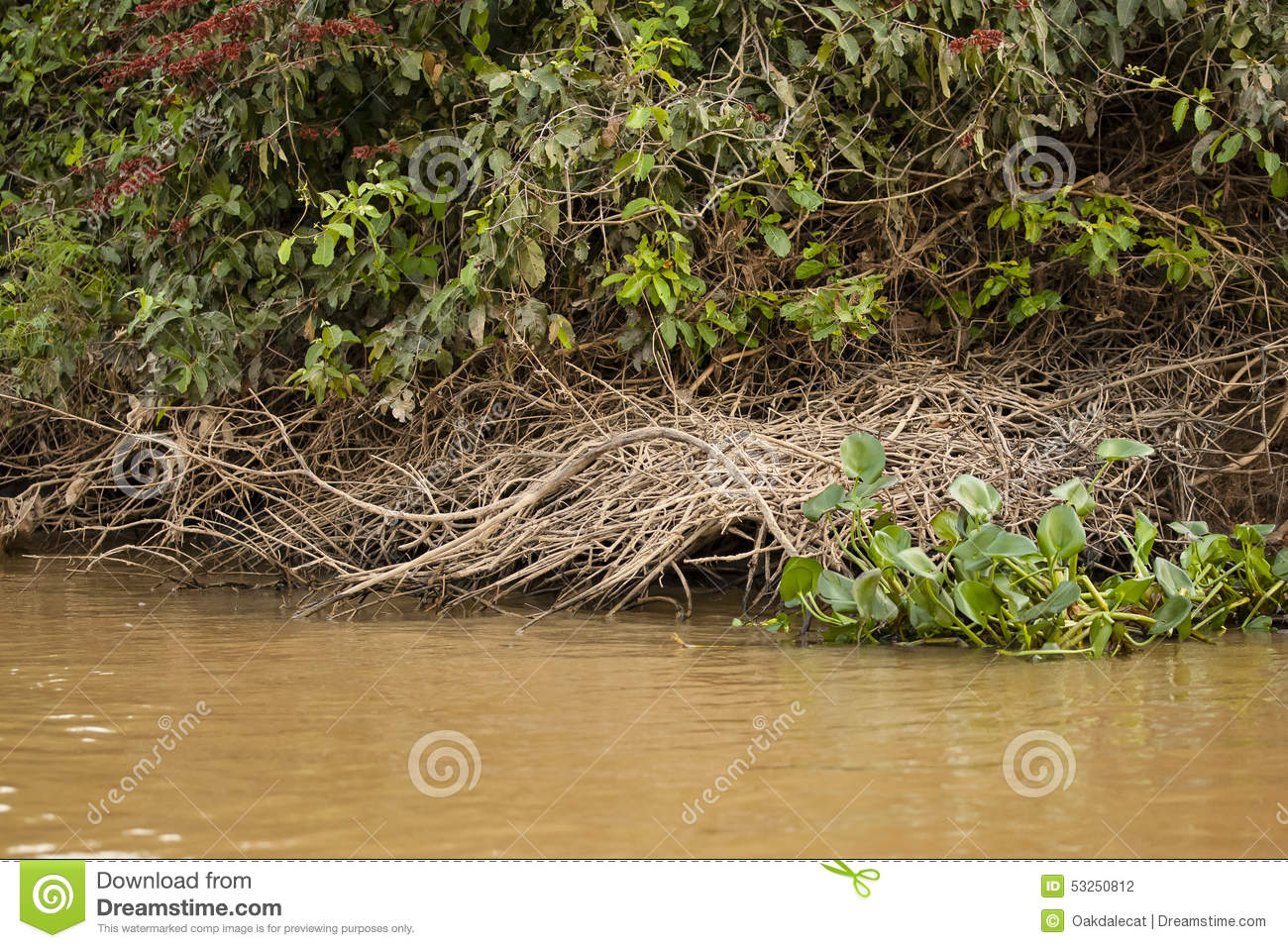 By The Giant Otters With Trampled Vines And Scent Marking not Seen
