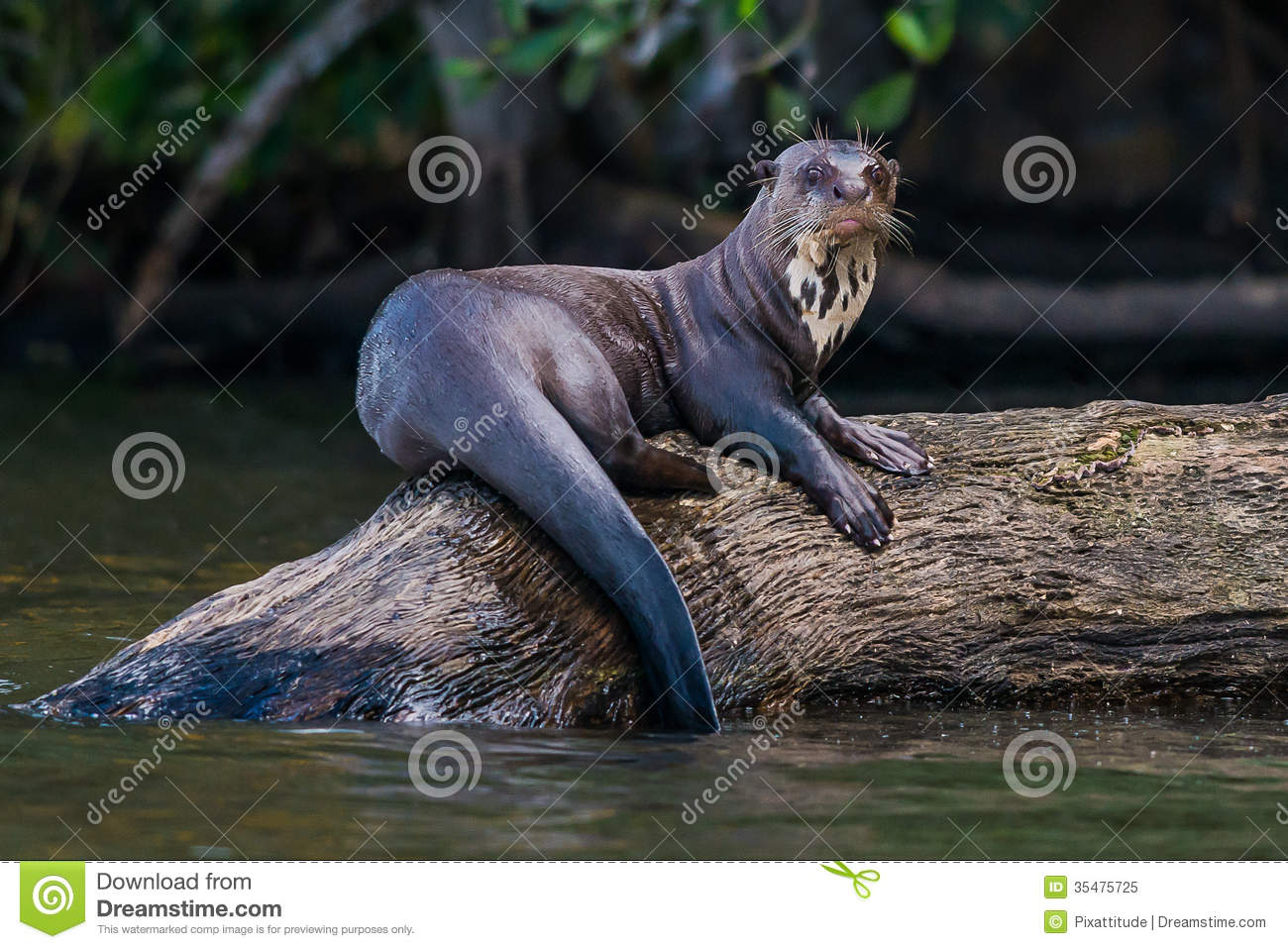 Giant otter standing on log in the peruvian Amazon jungle
