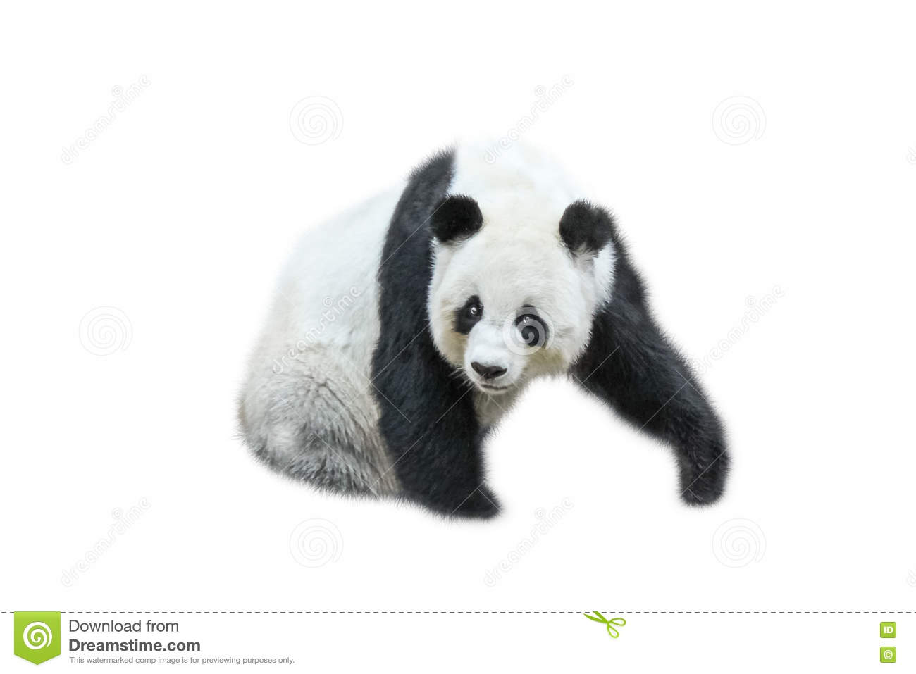 The Giant Panda Stock Image Image Of Chinese Side Endangered