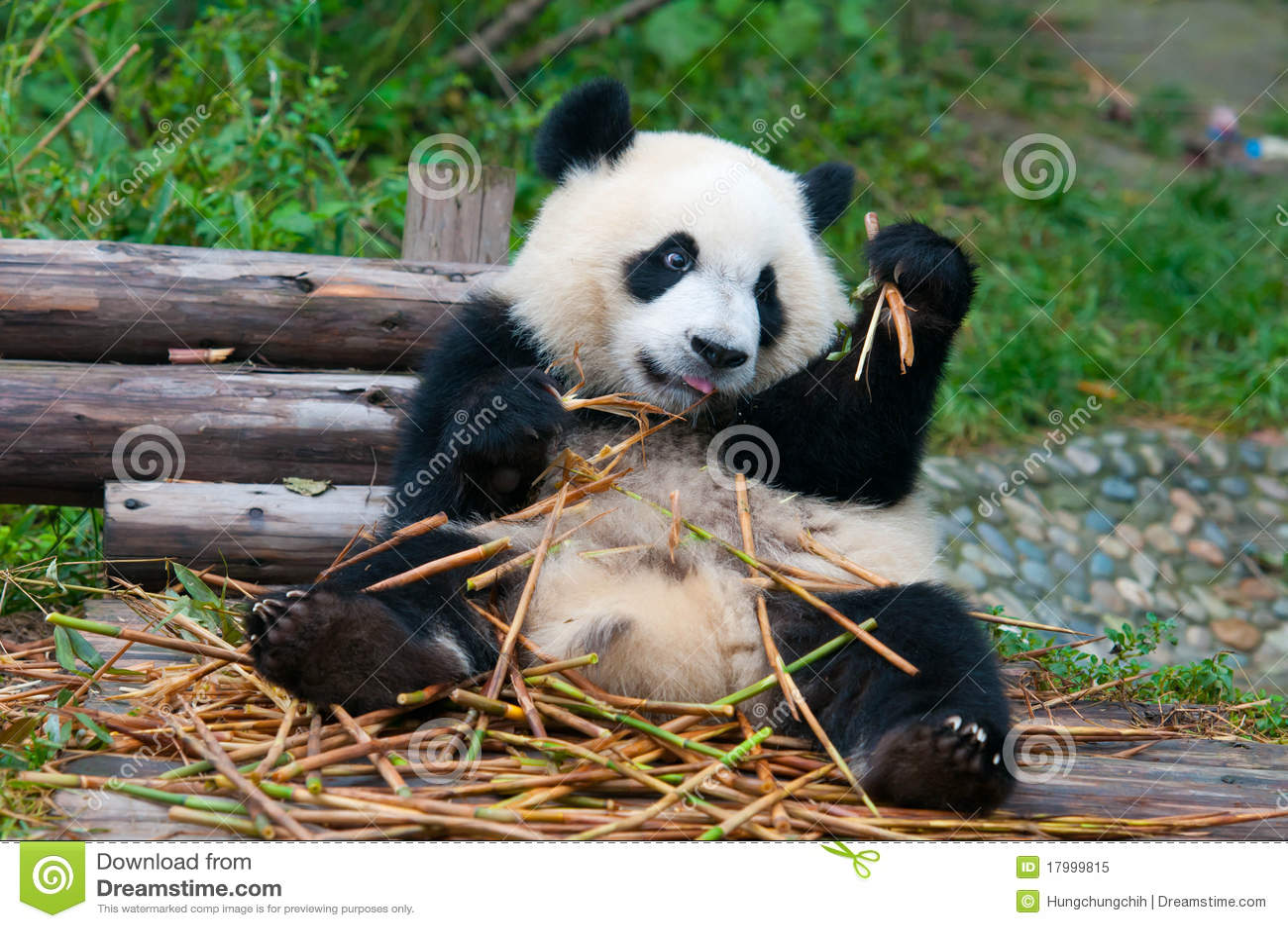Giant Panda Bear Eating Bamboo Royalty Free Stock Photo ... Mammals Clipart Black And White