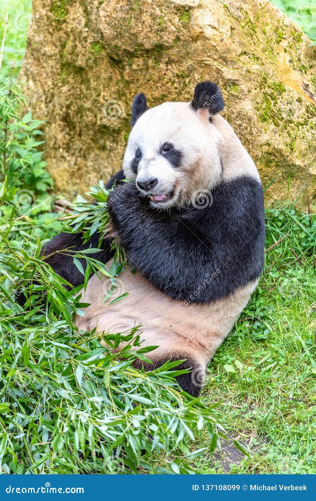 Giant panda bear eating bamboo in a zoo