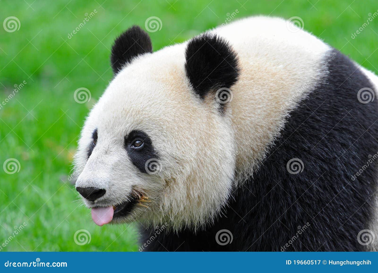 essay on panda bears