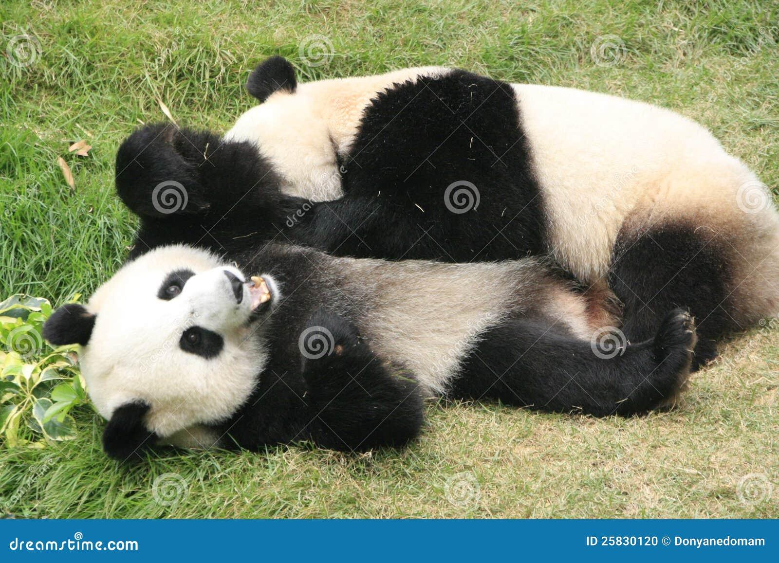 Ailuropoda Giant panda bears (ailuropoda melanoleuca), china stock ...