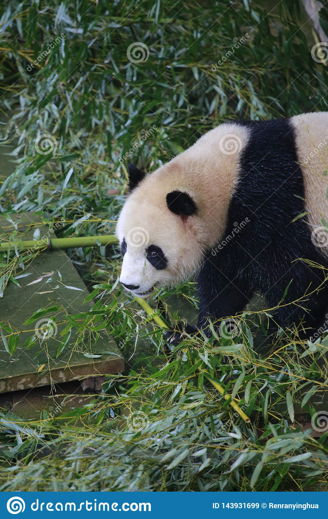 The giant panda belongs to the only mammals of the carnivora, the bear family, the giant panda subfamily and the giant panda. The