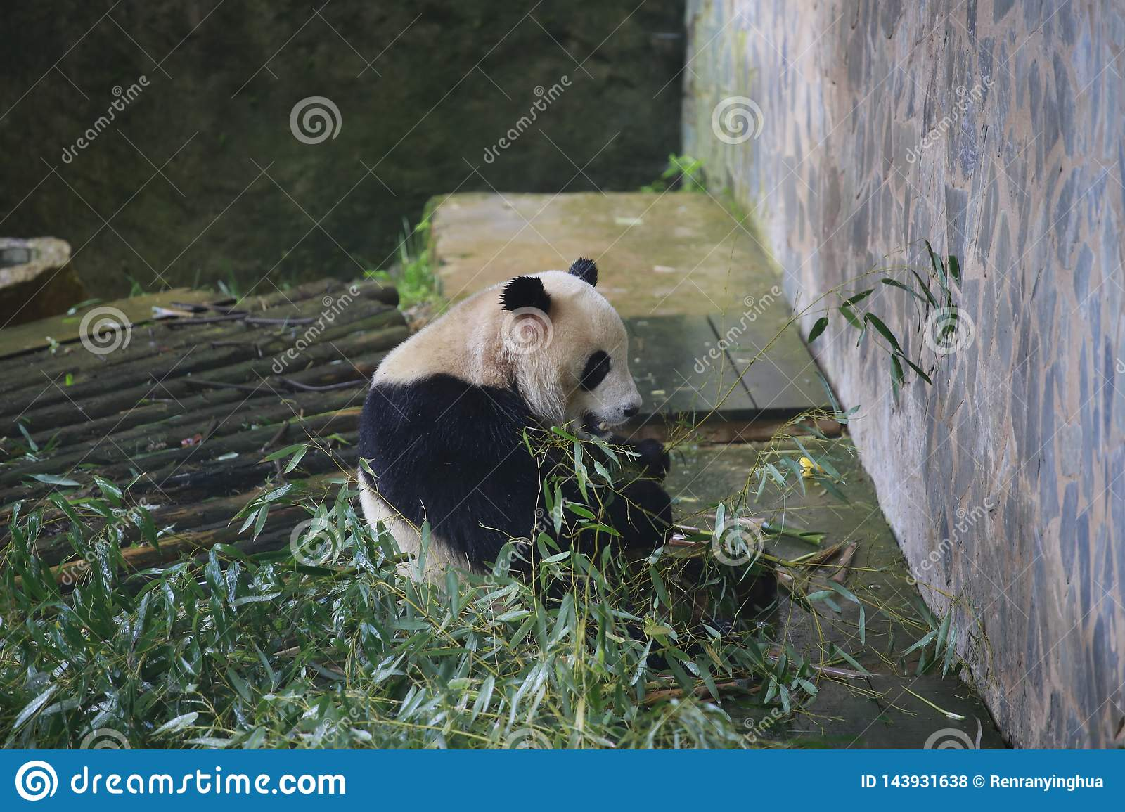 The Giant Panda Belongs To The Only Mammals Of The ...