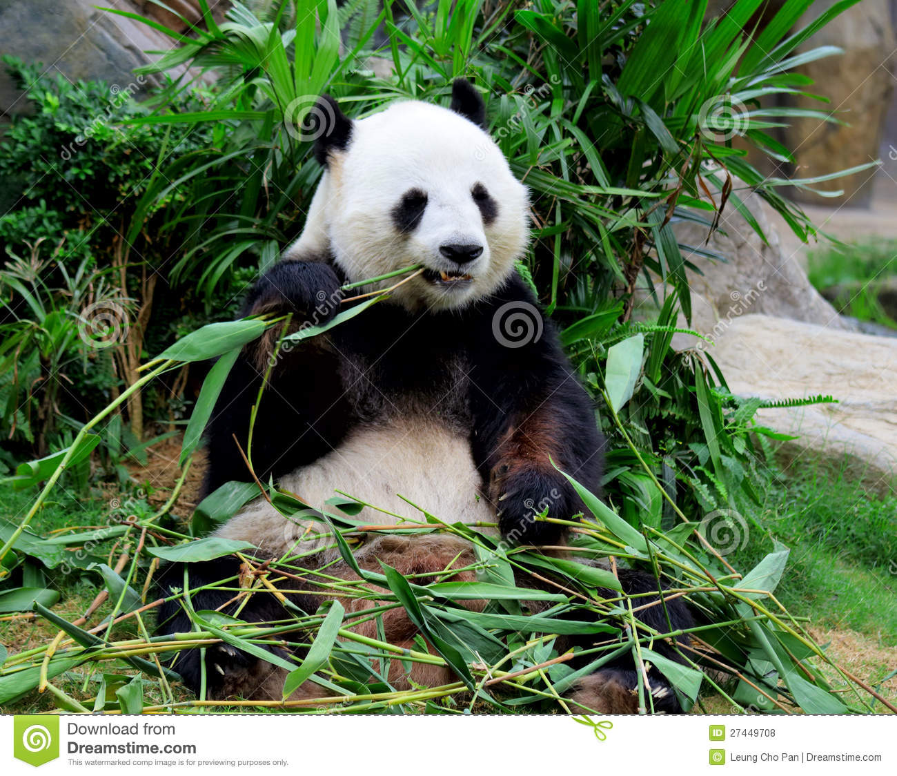 Giant Panda Eating Bamboo Royalty Free Stock Photos Image