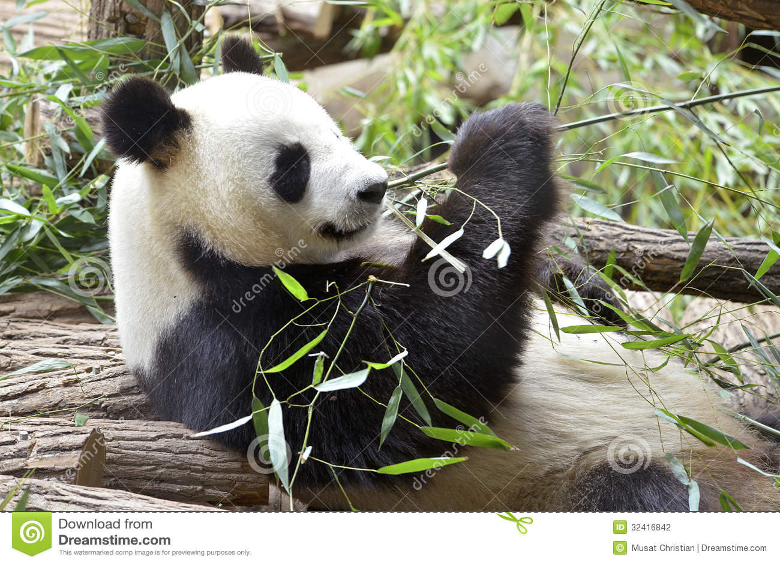 Giant Panda Eating Bamboo Stock Photography Image 32416842