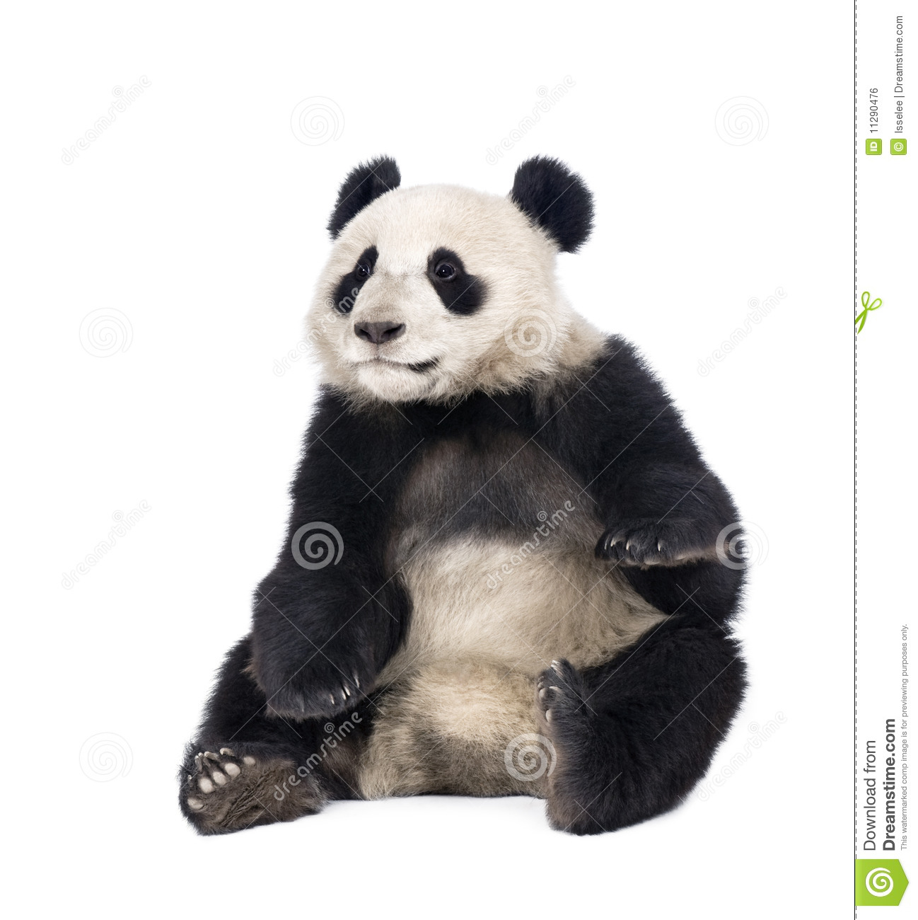 a background on the giant panda Photo about giant panda, ailuropoda melanoleuca, 18 months old, in front of a white background, studio shot image of months, baby, isolated - 10937828.