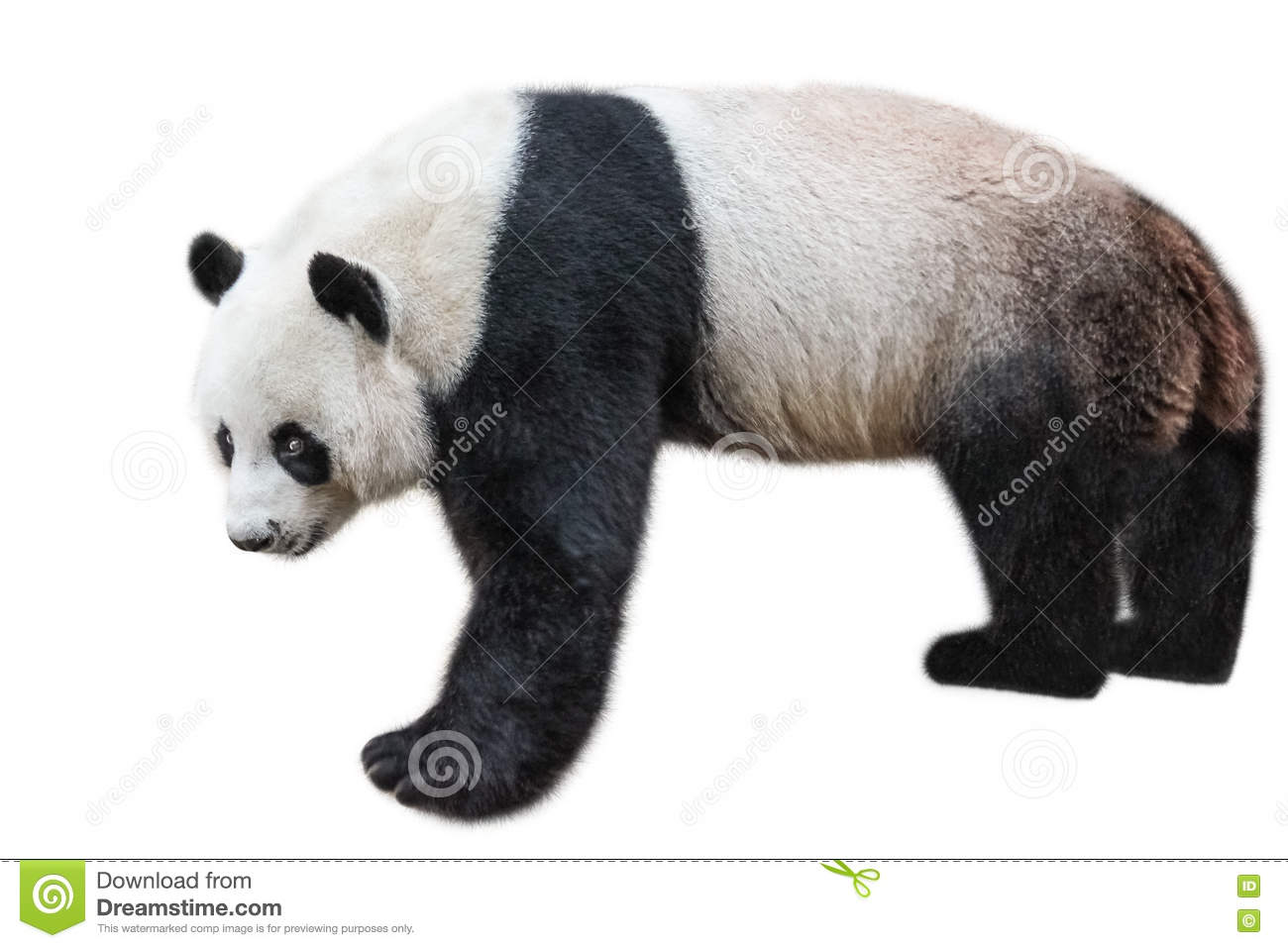 Giant Panda Standing Stock Photo Image Of China Bear 78930650