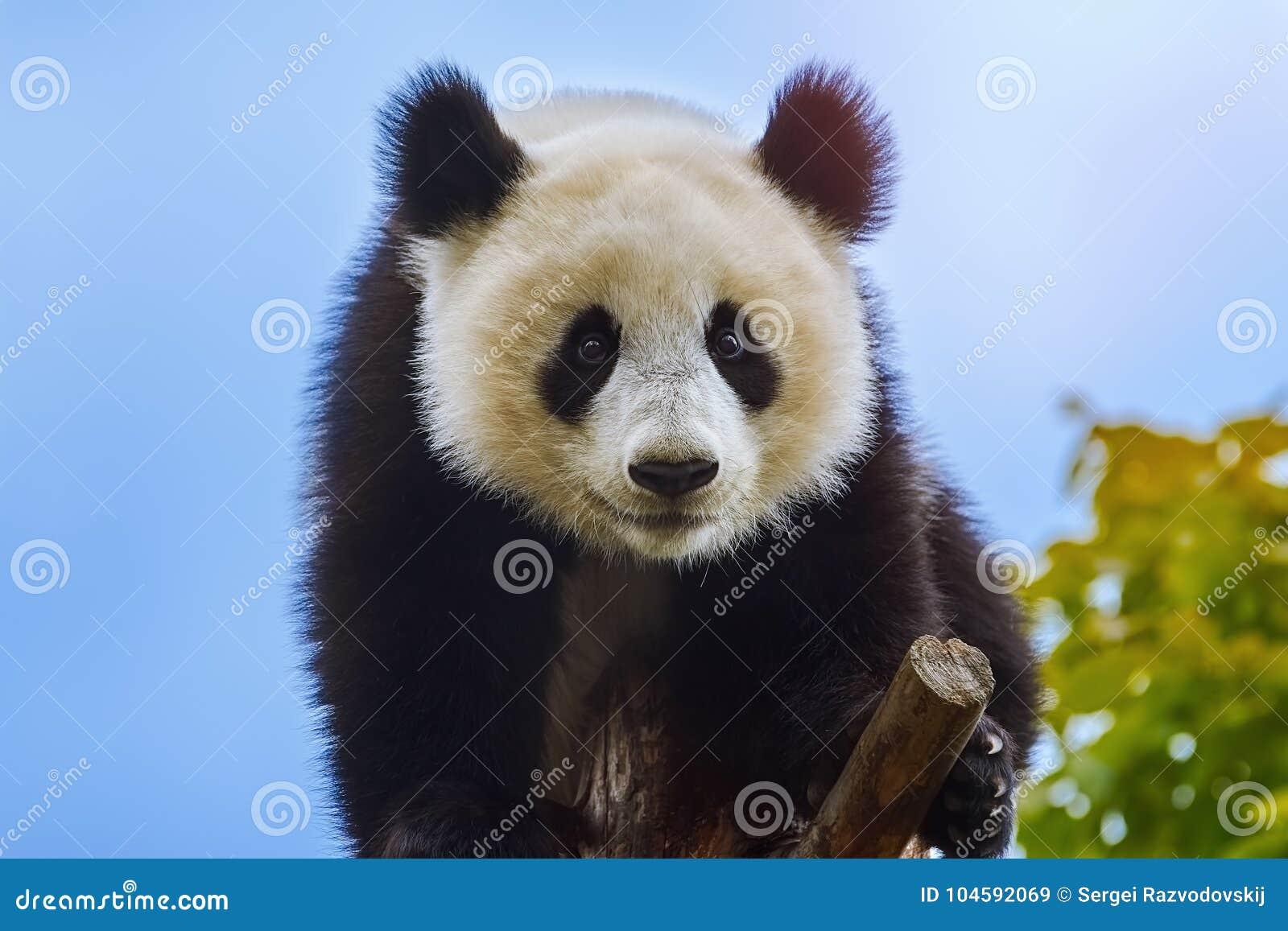 Giant Panda at the Tree