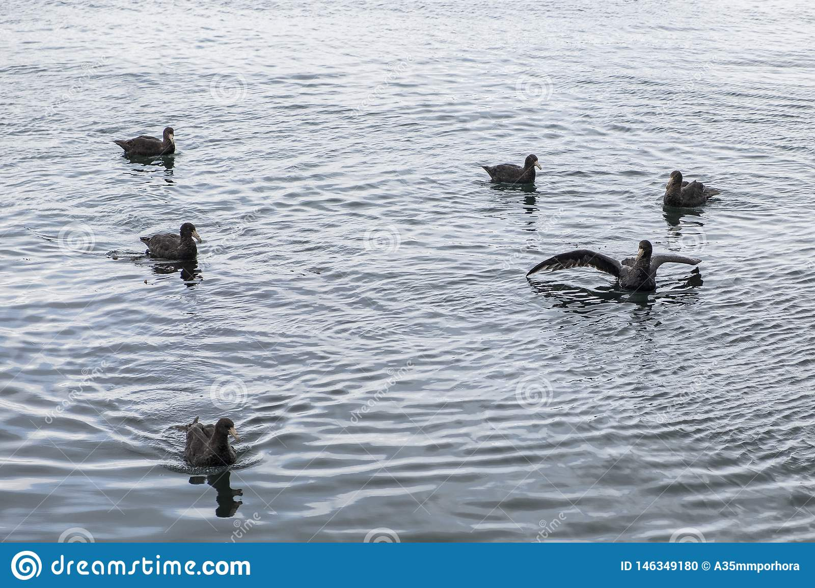 Giant petrel swimming in the fjord.  Ushuaia. Argentina