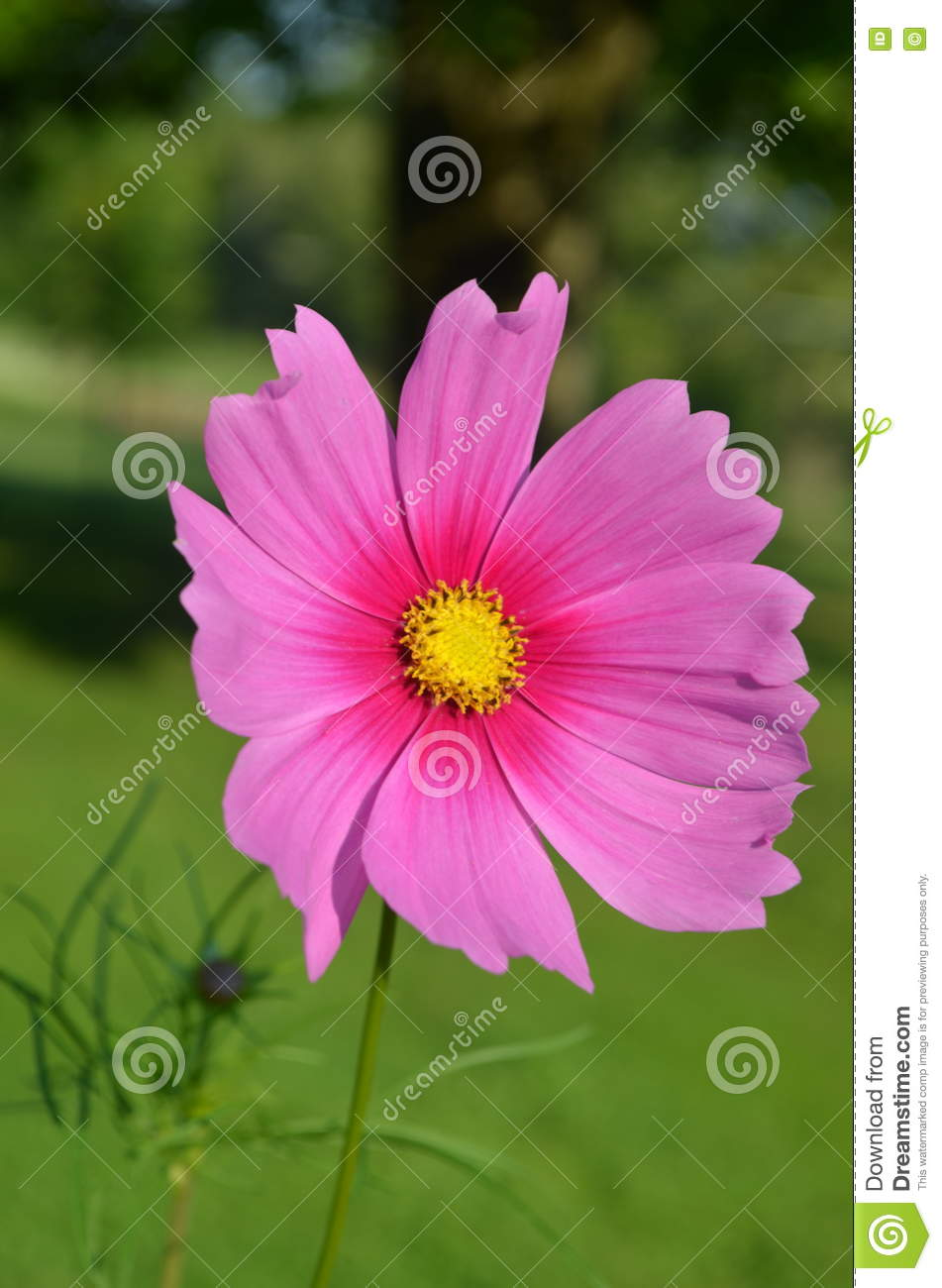 Giant Pink Cosmos Flower Open To The Sun Stock Image Image Of