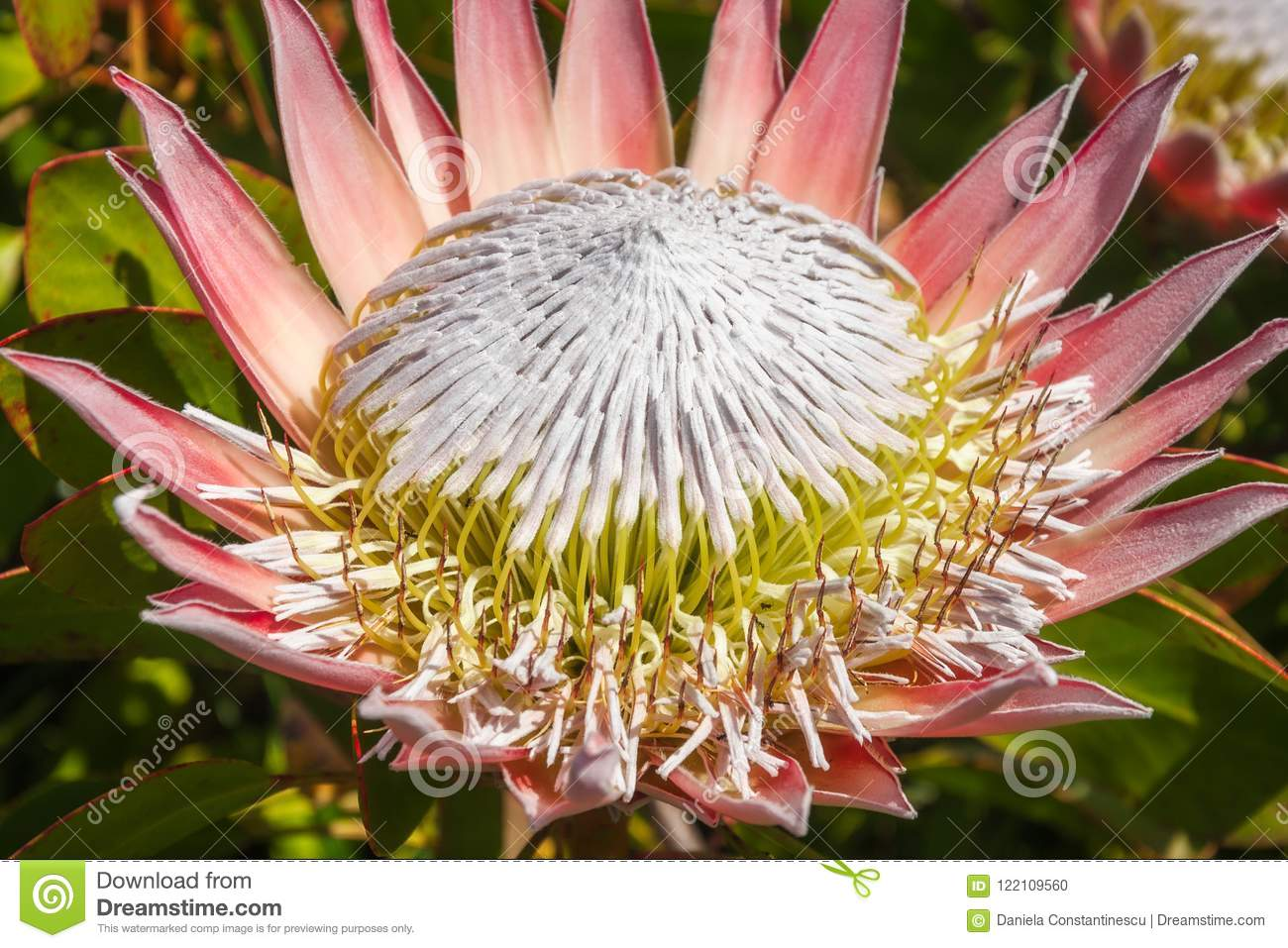 Giant Pink King Protea Flower Stock Photo Image Of Crown