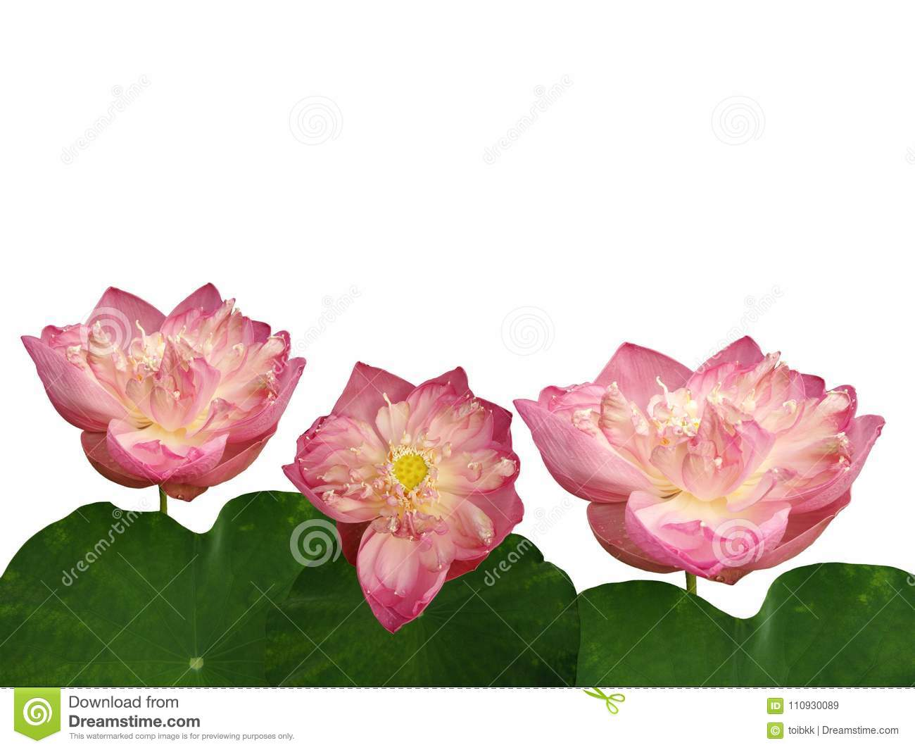 Giant Pink Lotus Flowers And Leaves Stock Image Image Of Space