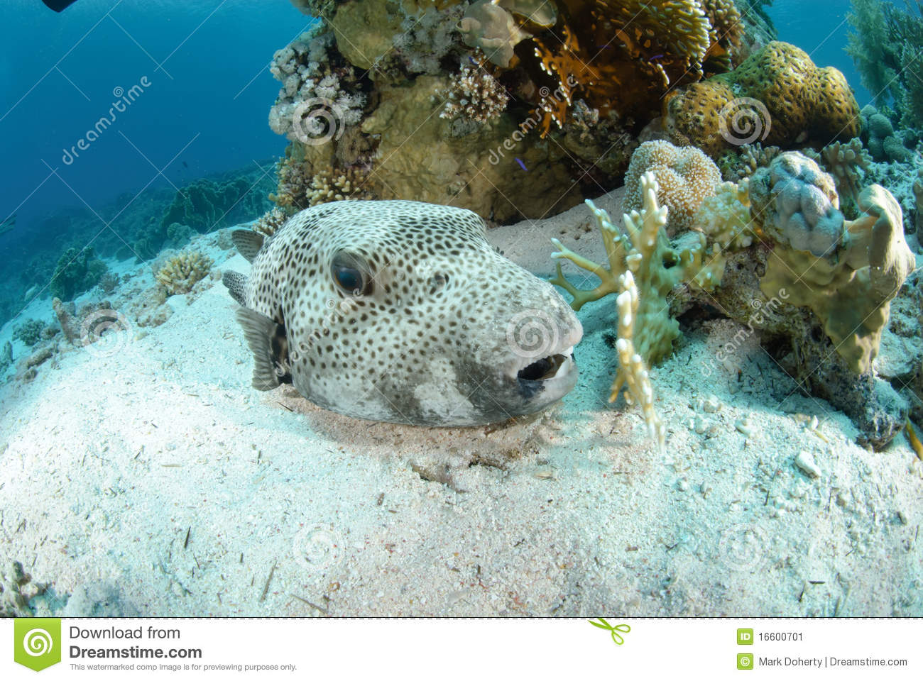 Giant puffer fish stock image image 16600701 for Giant puffer fish