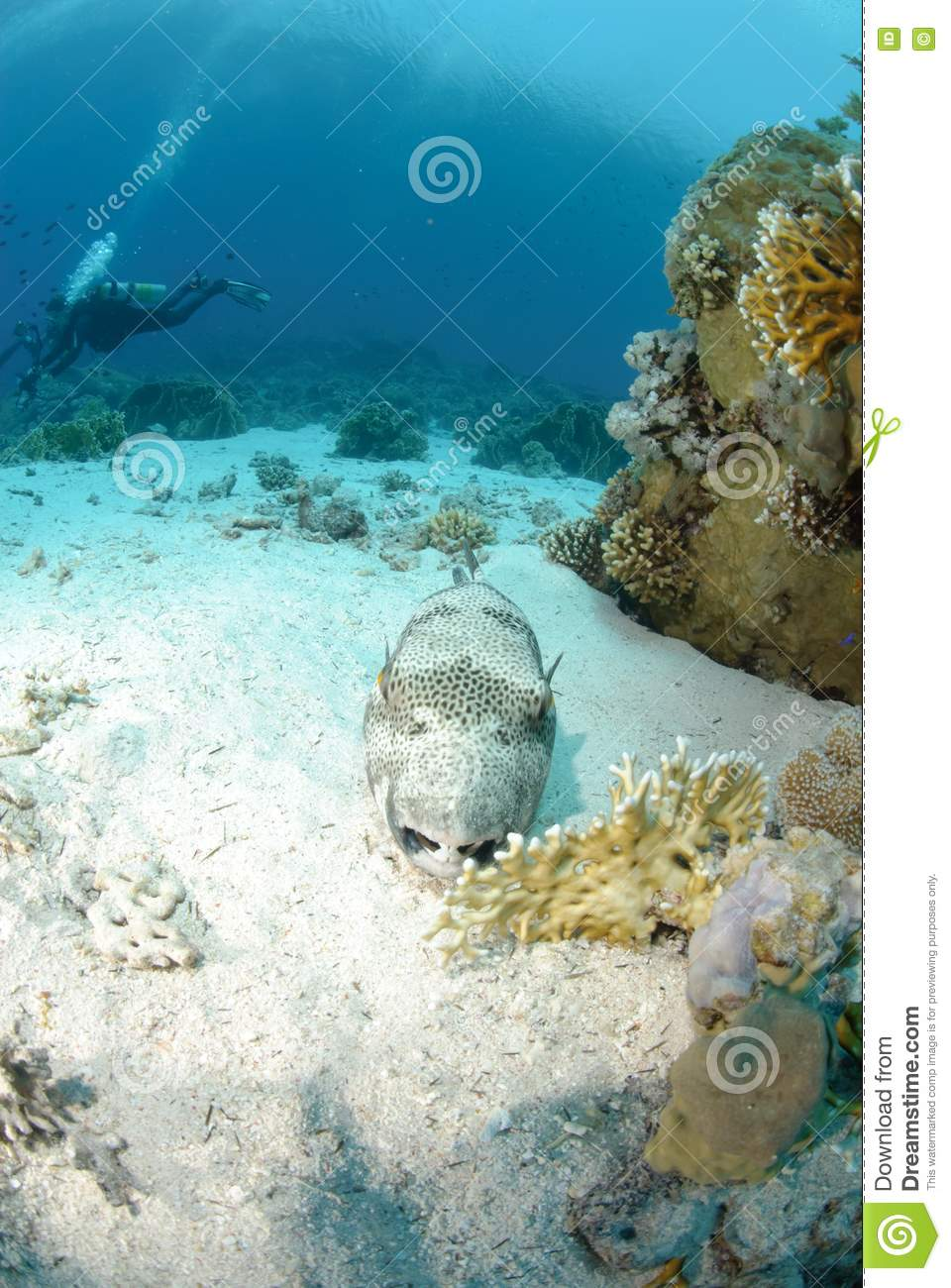 Giant puffer fish royalty free stock photo image 16600715 for Giant puffer fish