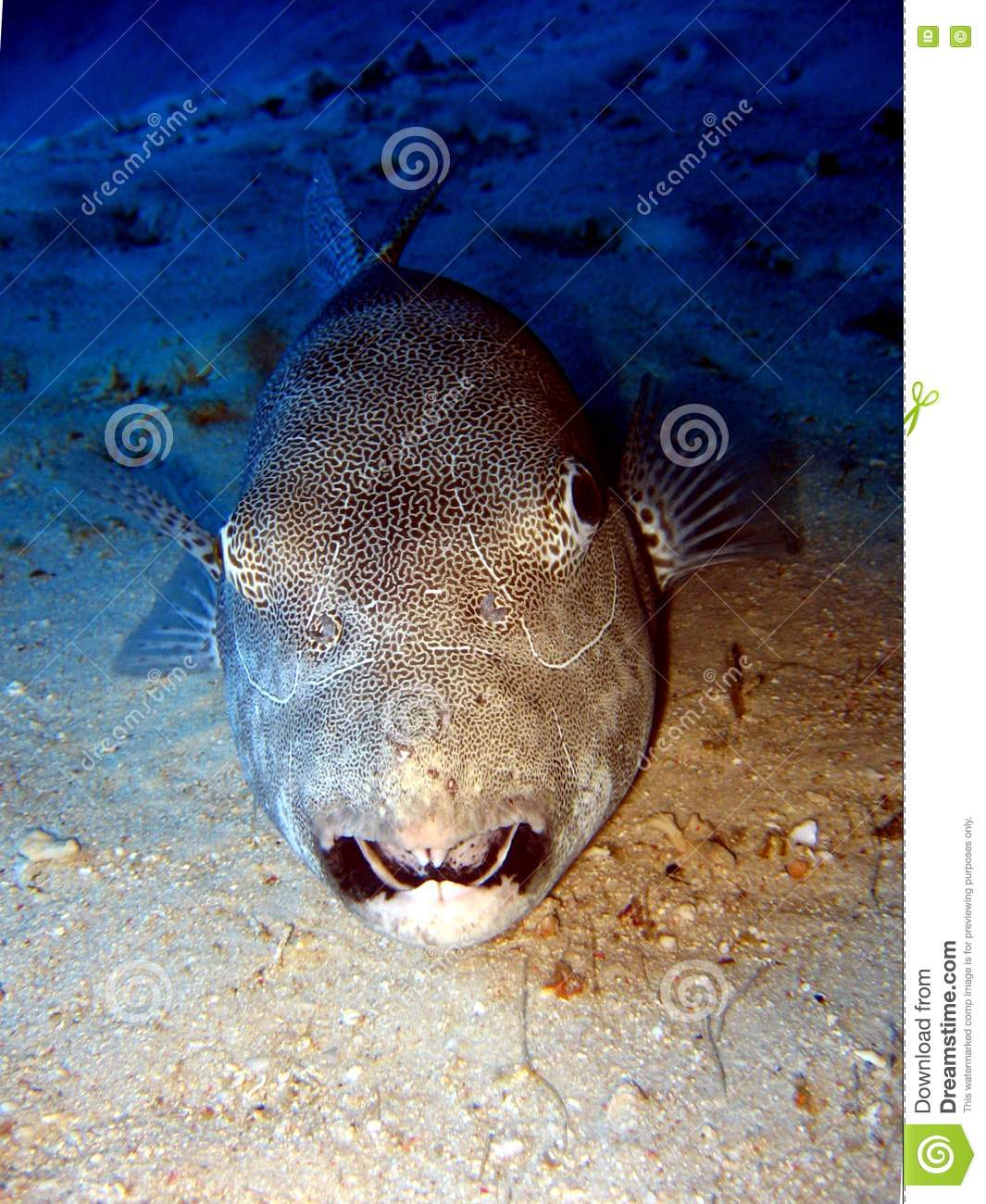 Giant puffer fish royalty free stock image image 3769976 for Giant puffer fish