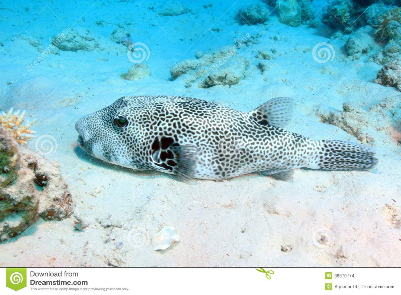 Giant puffer fish stock photo image 38870774 for Red sea fish