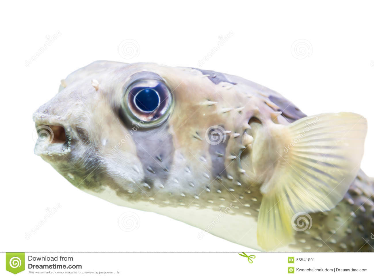 Giant puffer fish galapagos isolated stock photo image for Giant puffer fish