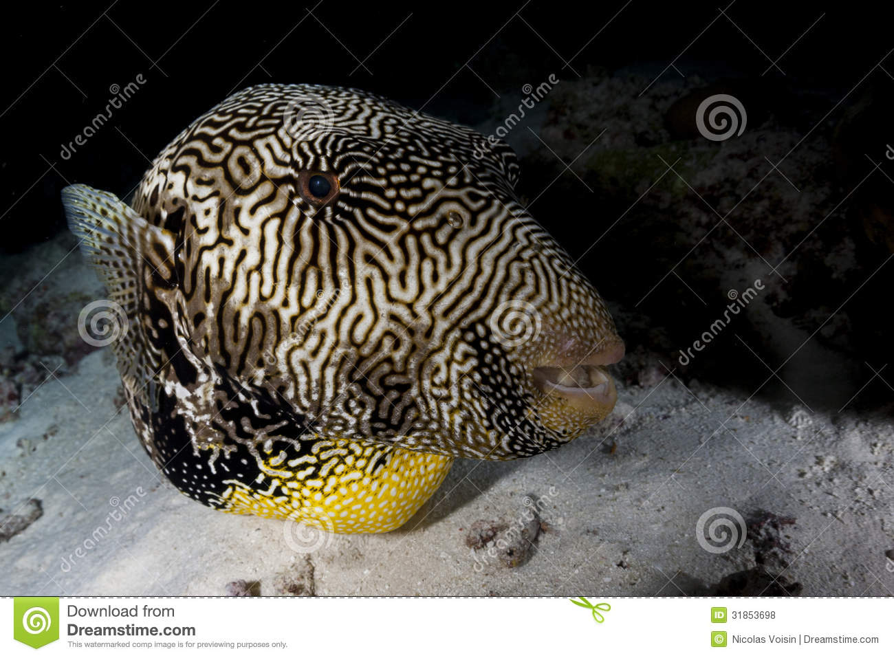 Giant puffer fish royalty free stock photos image 31853698 for Giant puffer fish