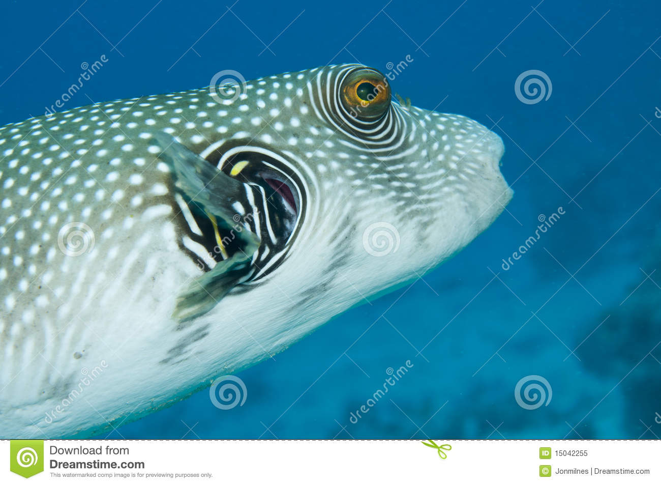 Giant pufferfish stock image image of reef mask for Puffer fish price
