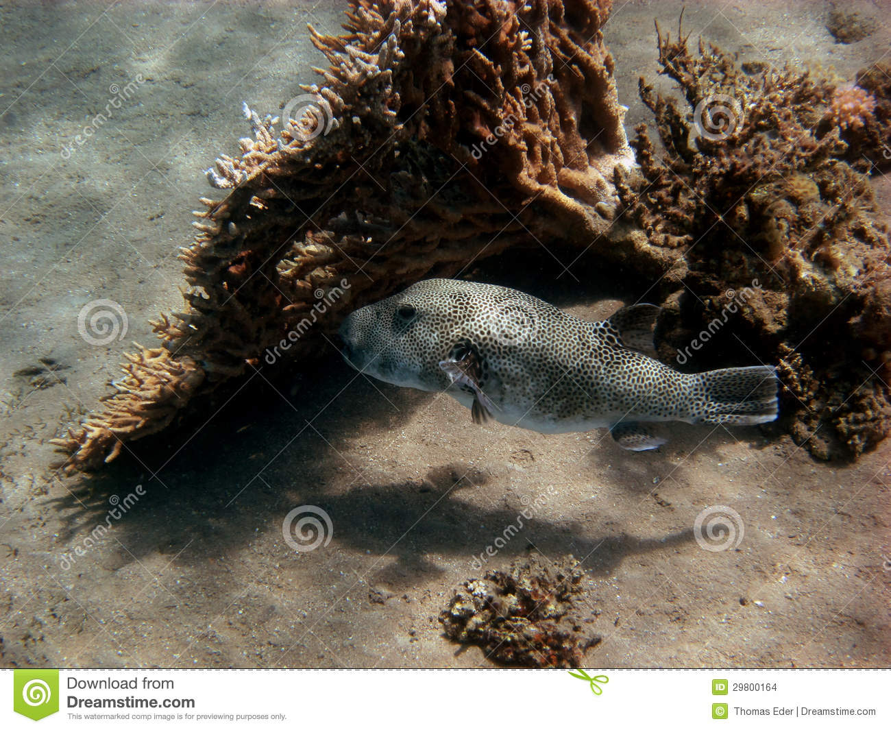 Giant pufferfish swims stock photo image of coral bottom for Giant puffer fish
