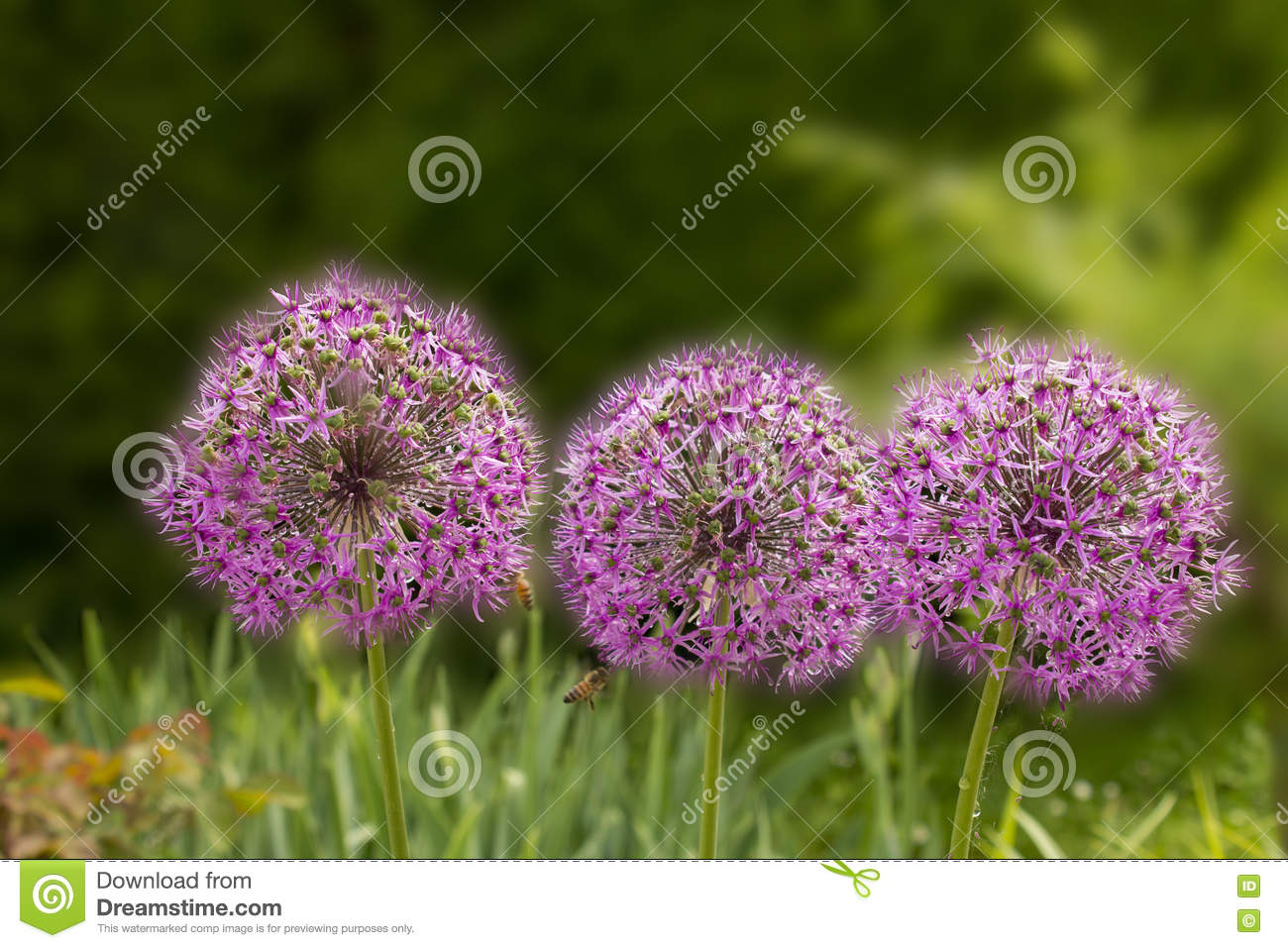 Giant Purple Allium Flower Field With Tiny Blue Flowers Stock Photo
