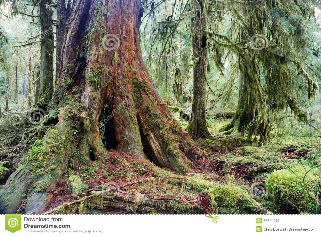 what is a tree trunk covered with 4 letters - giant red cedar tree stump moss covered growth hoh