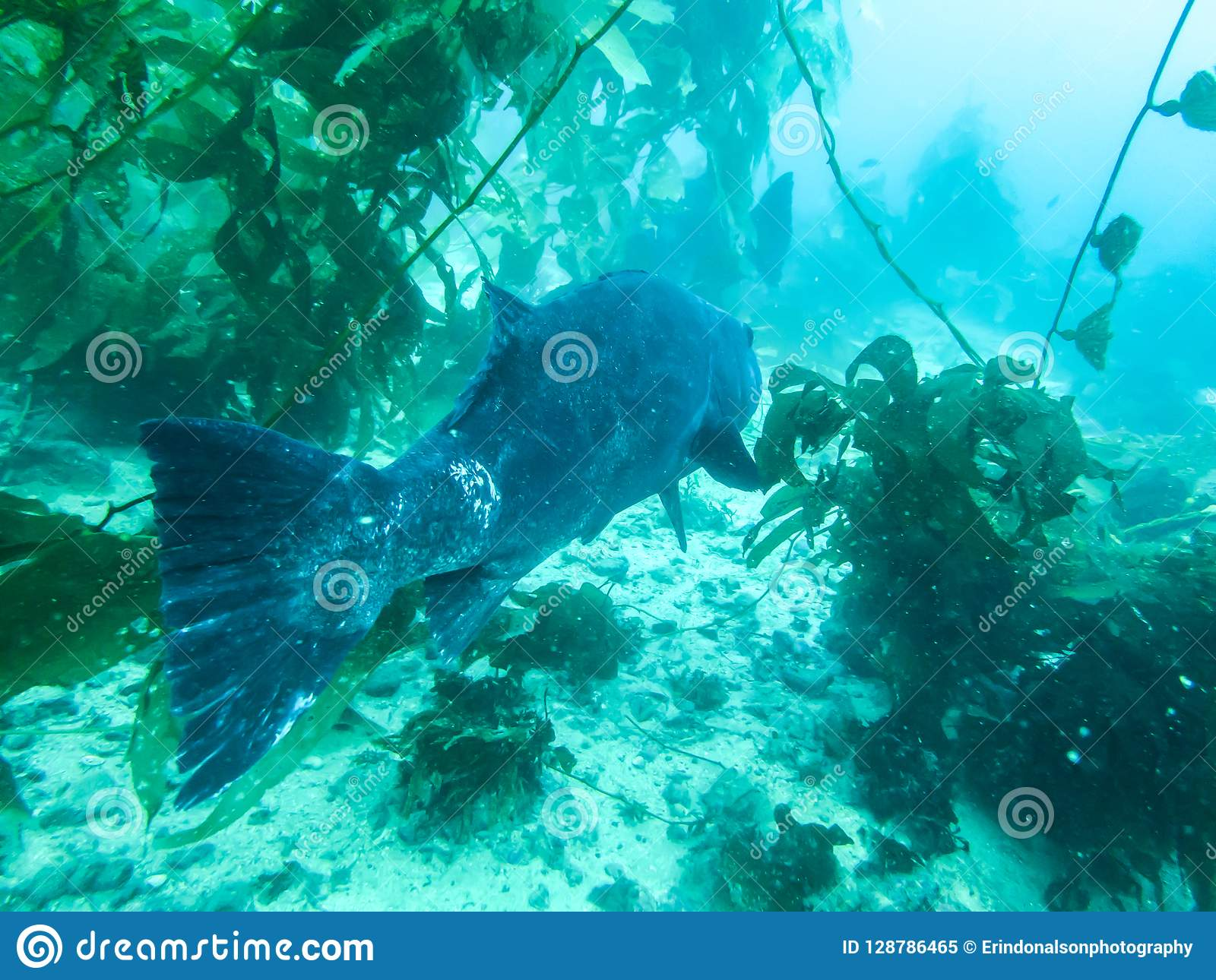 Giant Sea Bass Swimming Through Kelp Forest Close Up