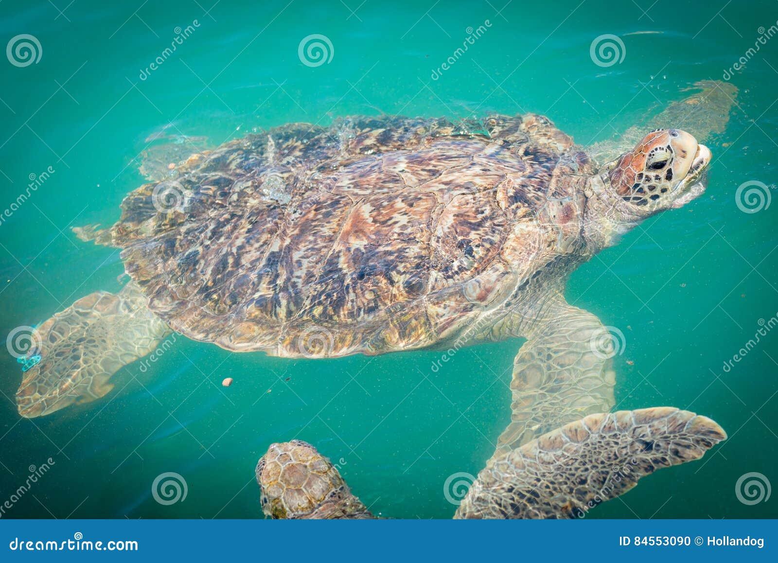 Giant sea turtle swimming stock photo. Image of huge - 84553090