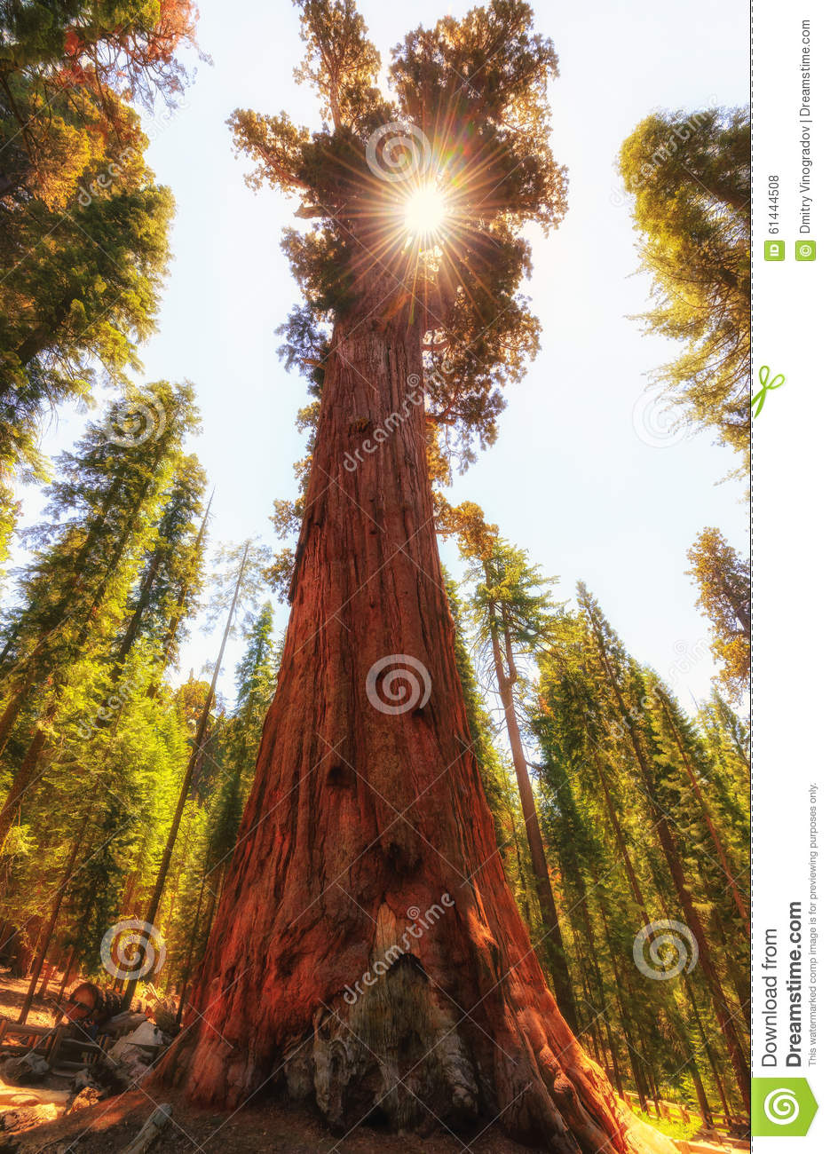 Giant Sequoia and sunshine with soft golden light.