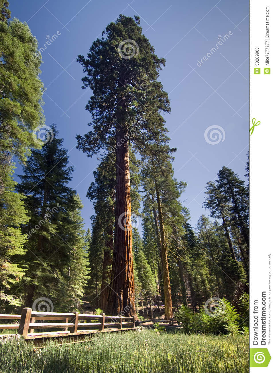 Giant Sequoia Tree Mariposa Grove Yosemite National Park