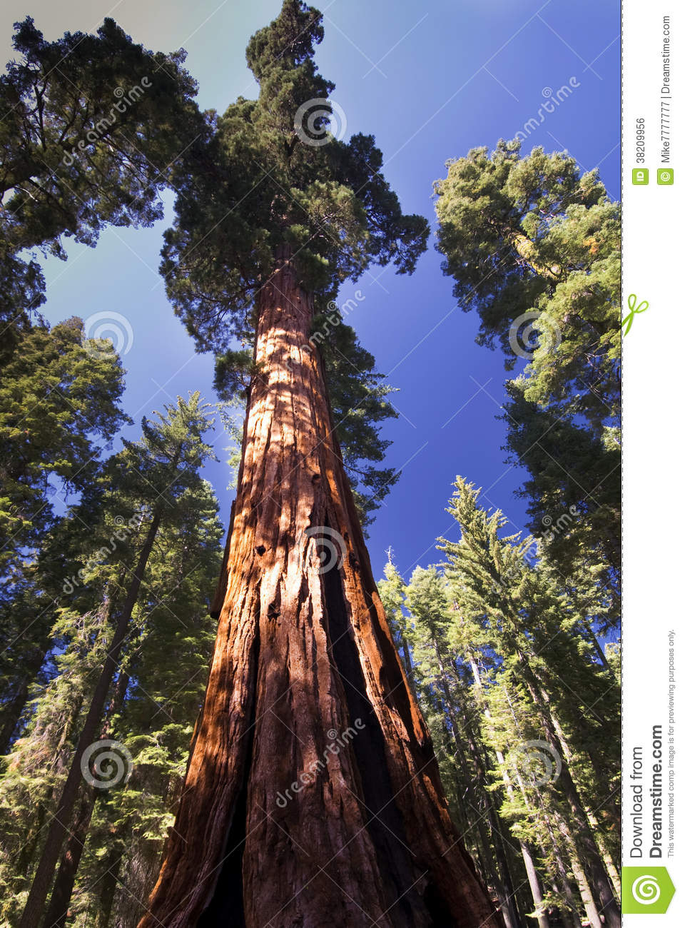 Populaire Giant Sequoia Tree, Mariposa Grove, Yosemite National Park  PS32
