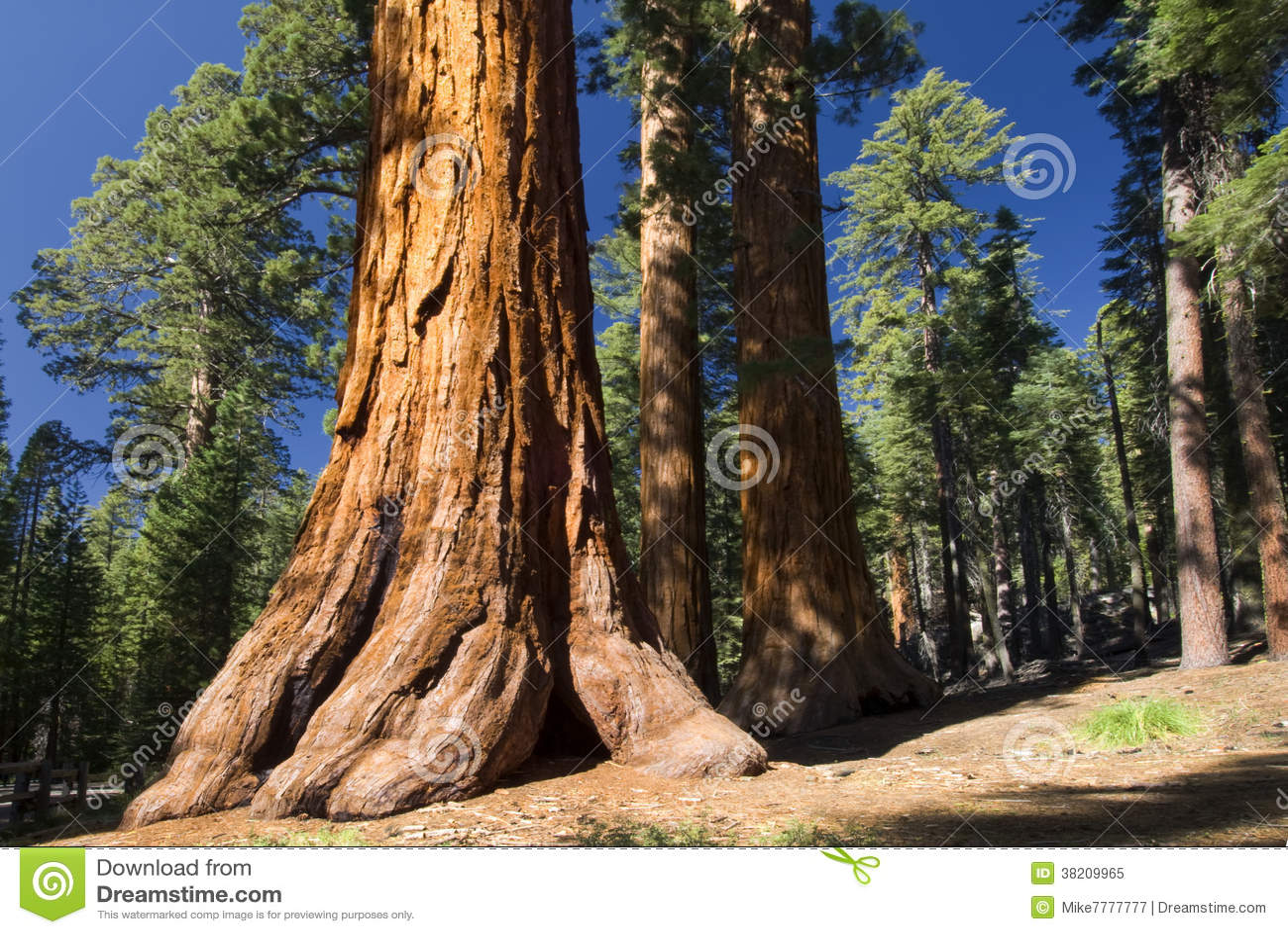 Préférence Giant Sequoia Tree, Mariposa Grove, Yosemite National Park  EA76