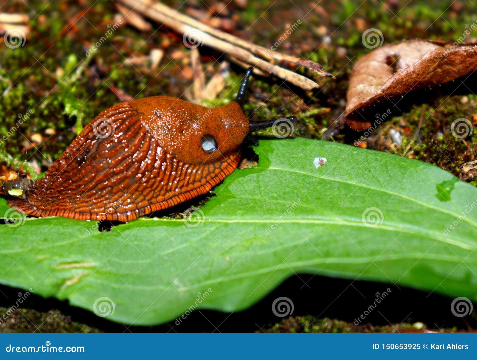 Giant, slimy slug eating a leaf