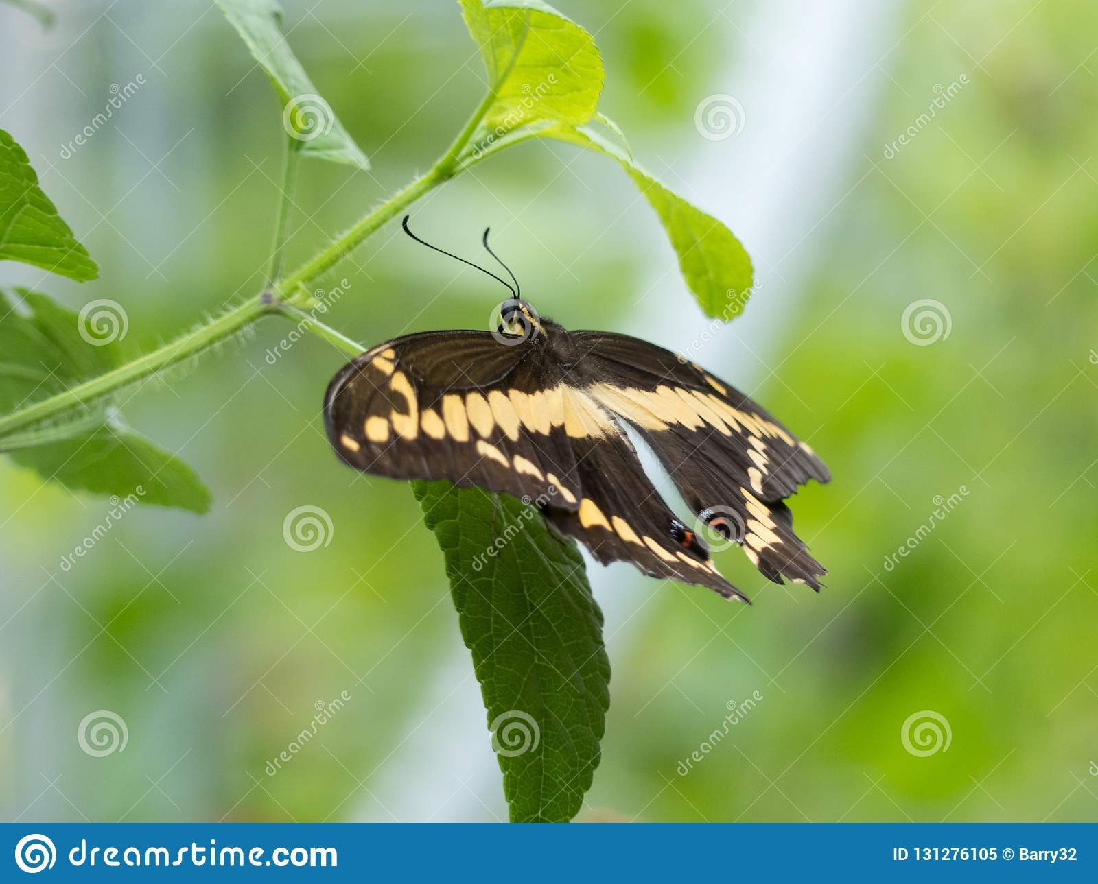 Giant Swallowtail butterfly on a green branch with smooth bokeh background