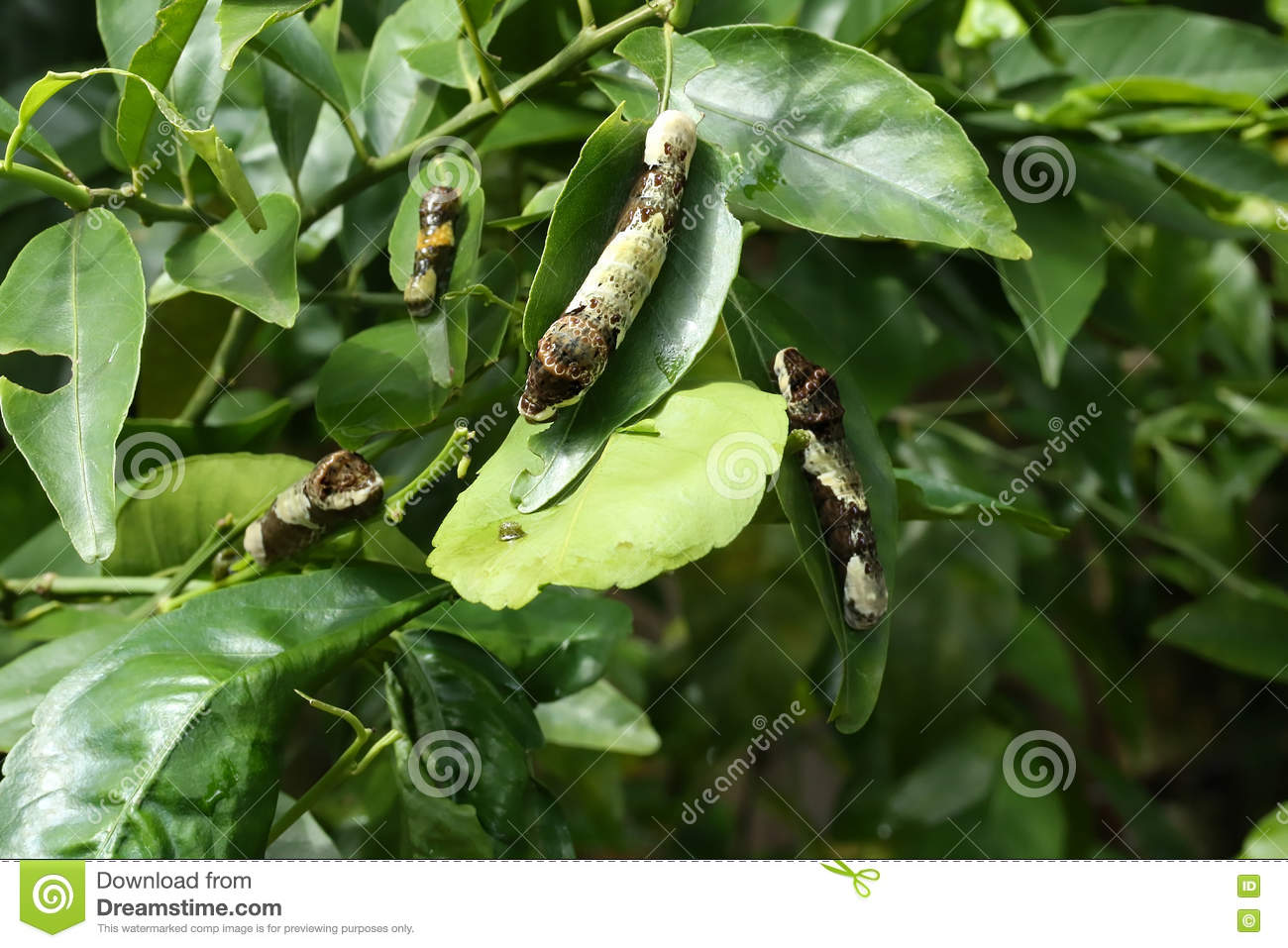 Giant Swallowtail caterpillars eating leaves