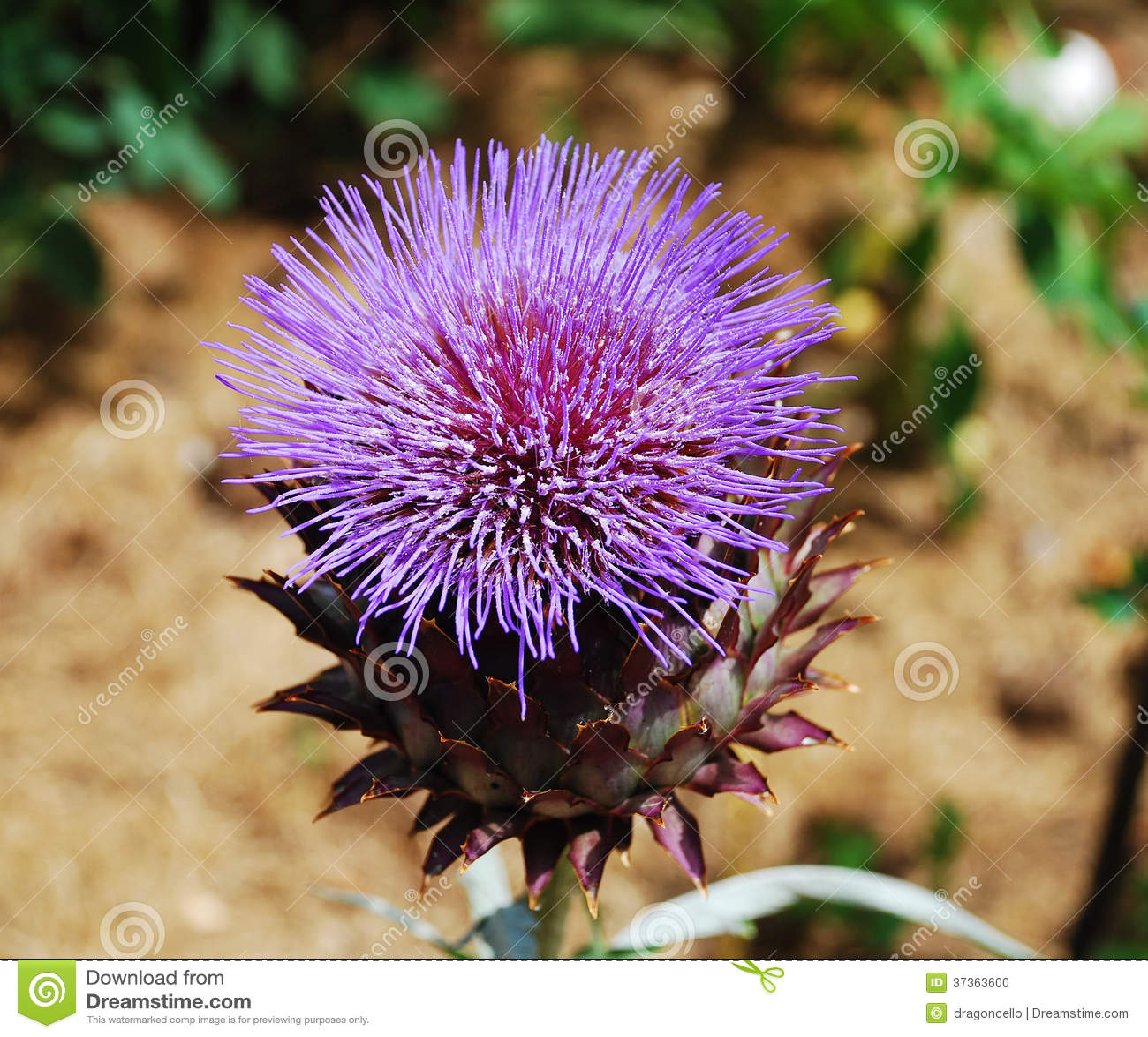 Giant Thistle Flower Stock Photo Image Of Large Plant 37363600