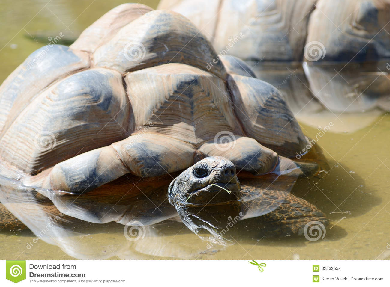 Giant tortoise keeping cool on a sunny day in a pool of water.