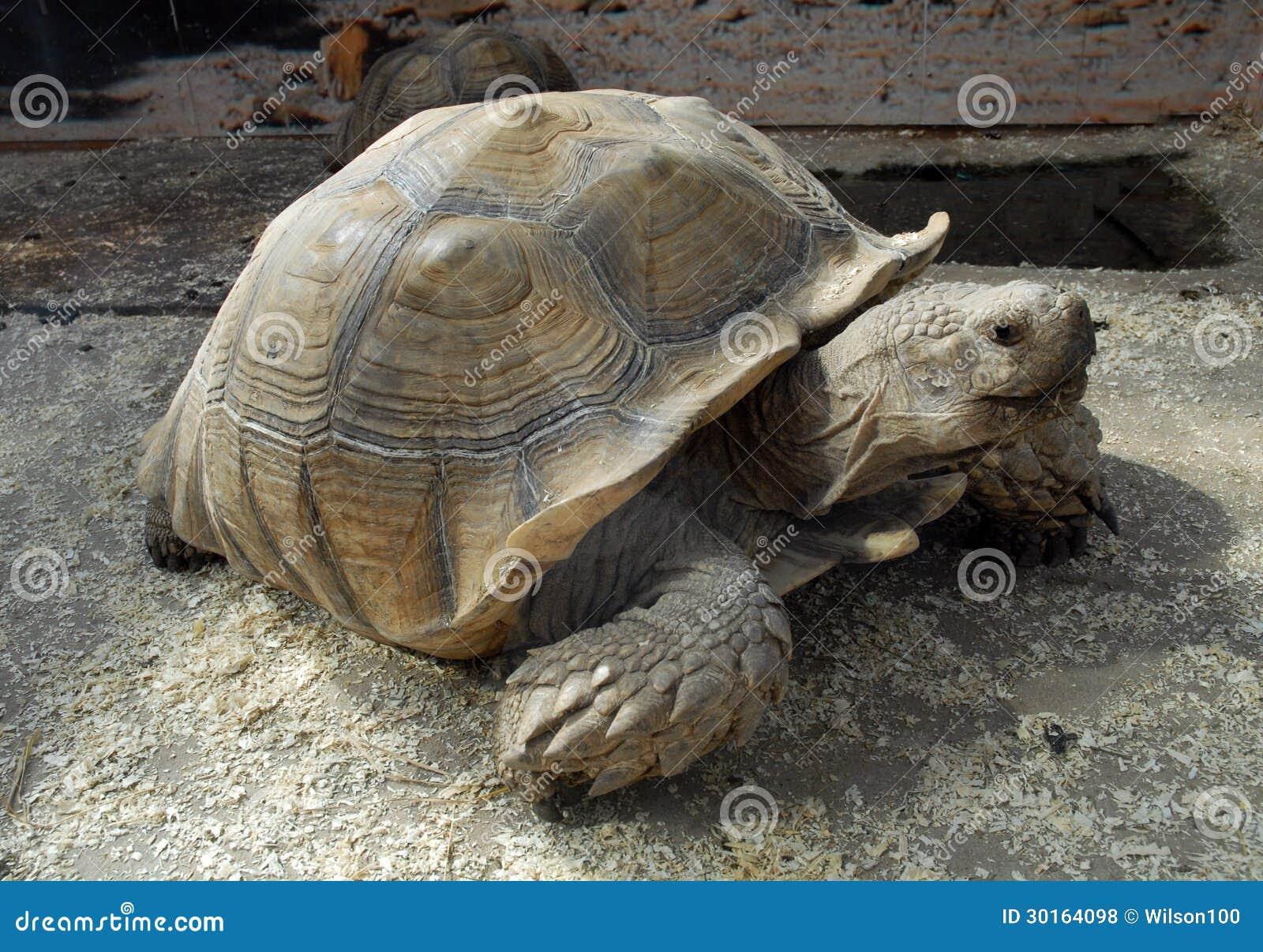 Giant Tortoise Royalty Free Stock Photos - Image: 30164098