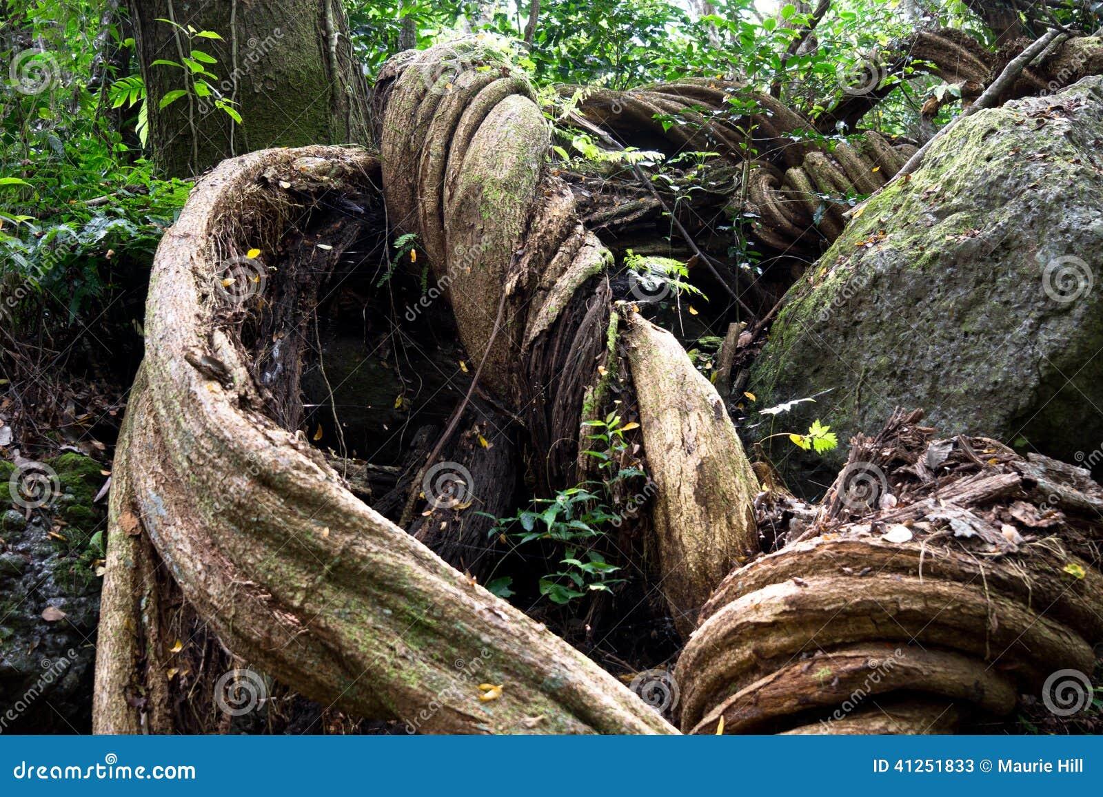 Giant Twisted Tree Roots Fiji Stock Photo Image 41251833