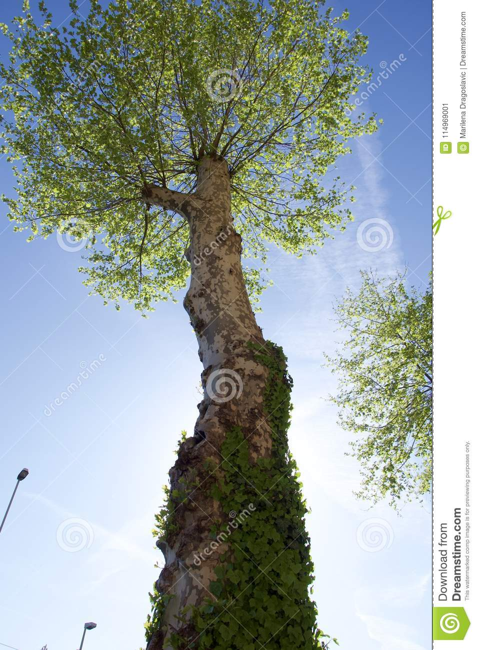 Giant urban tree from frog perspective