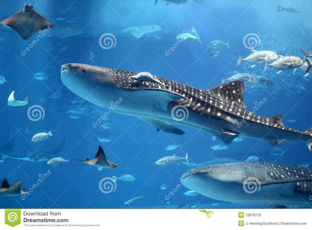 Giant Whale Shark http://www.dreamstime.com/royalty-free-stock-images-giant-whale-shark-swimming-swarm-fish-image10678719
