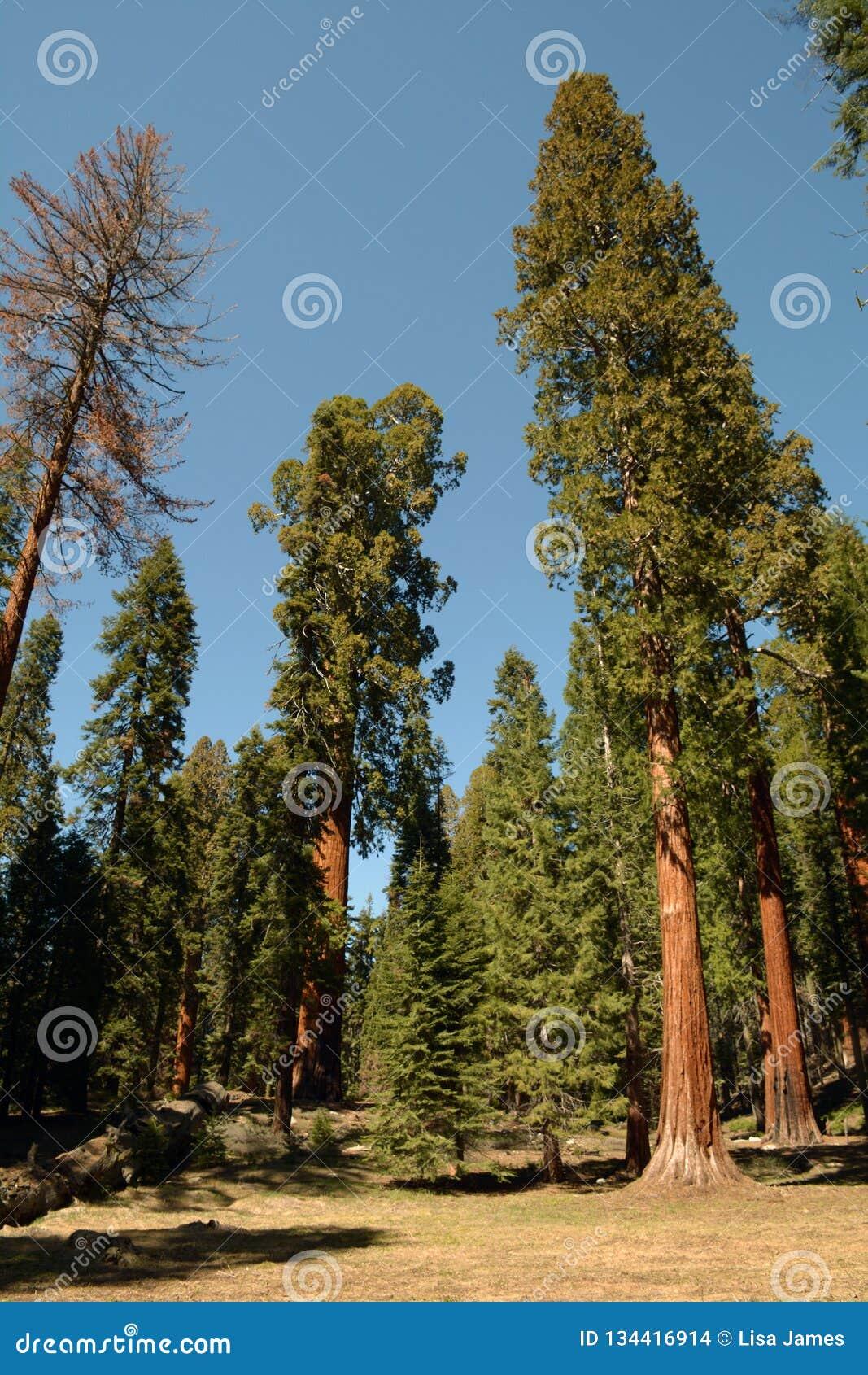 Giants de la nature le séquoia
