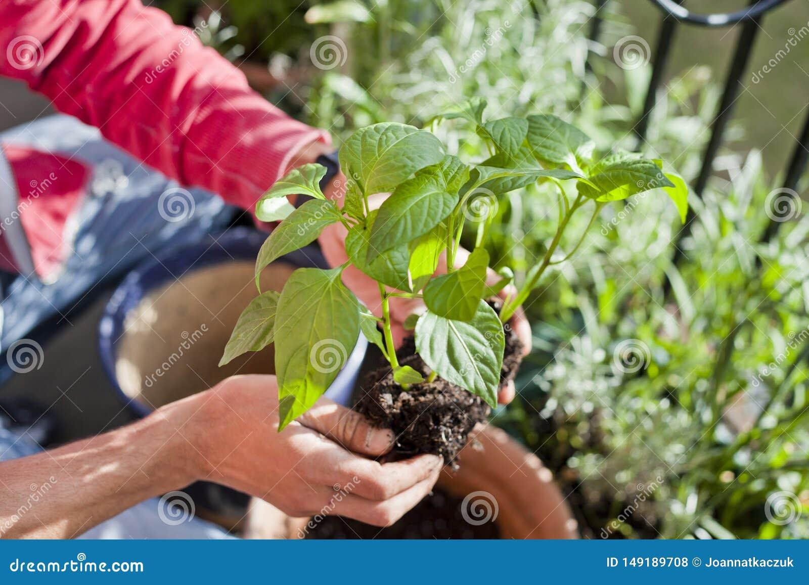 Giardiniere dell uomo che trapianta le giovani piante del peperoncino ai pi? grandi vasi - attivit? di giardinaggio sul balcone s