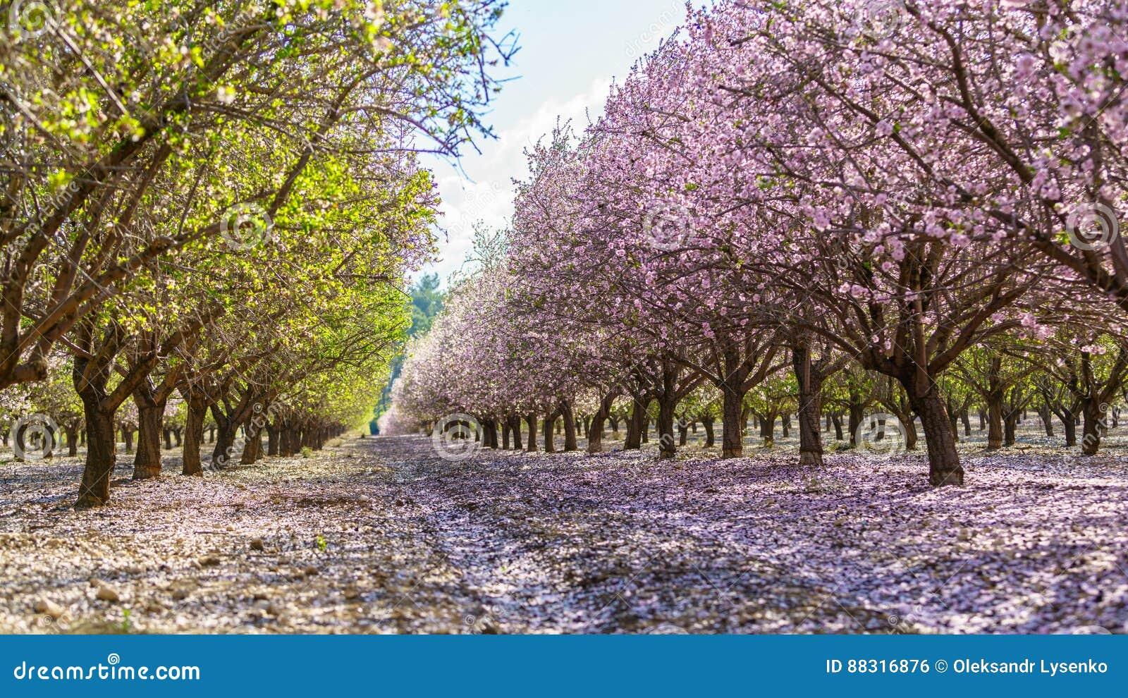 Foto Di Alberi Da Frutto giardino con gli alberi da frutto di fioritura fotografia