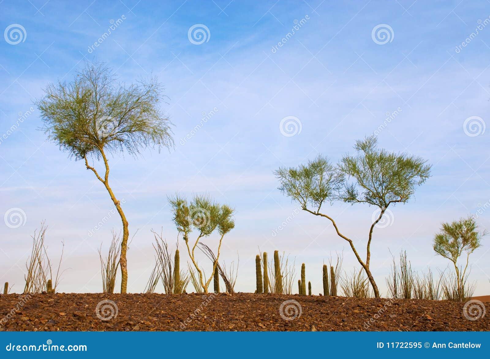 Giardino del deserto degli alberi esili fotografia stock - Alberi colorati da giardino ...