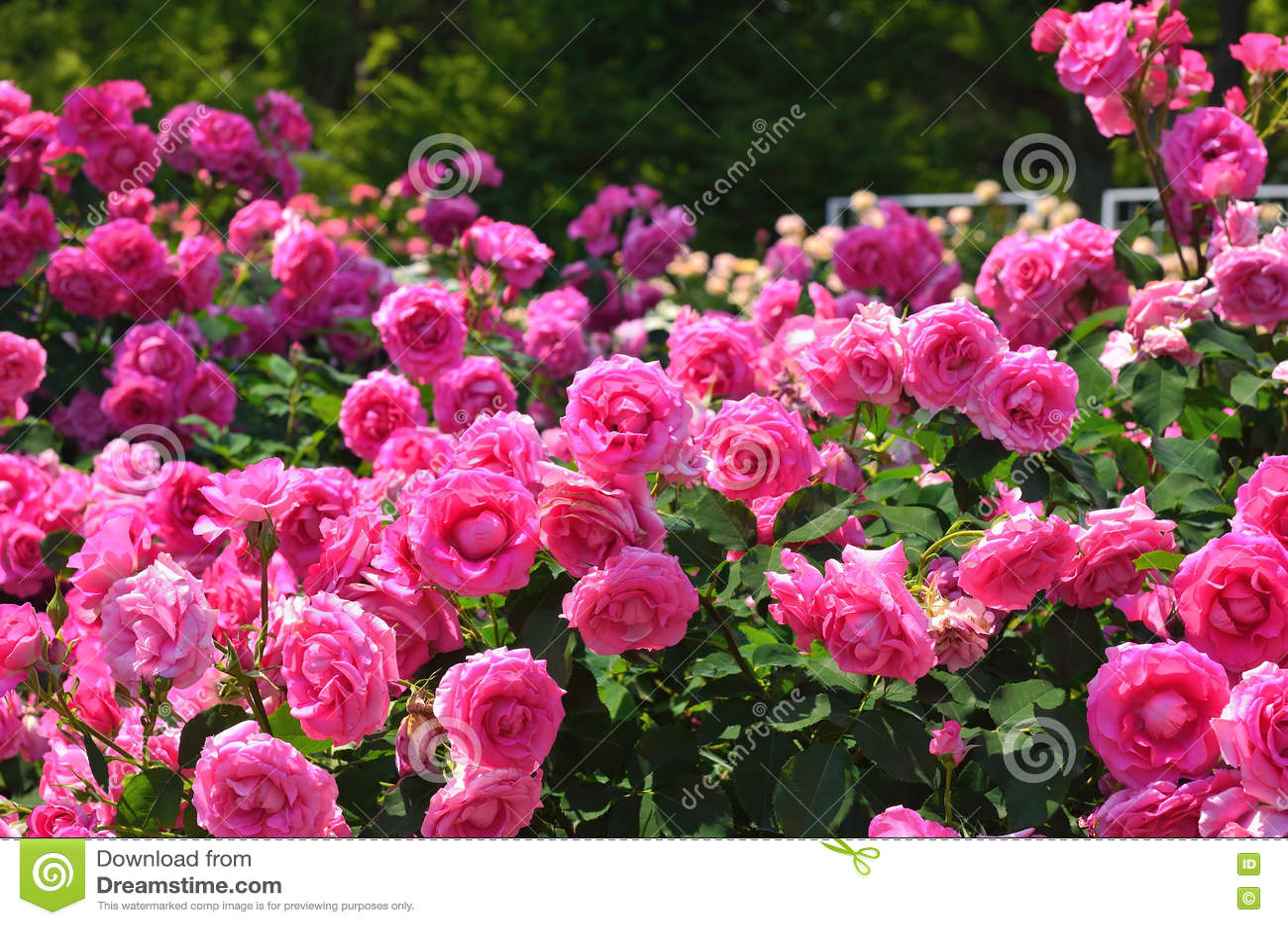 Un giardino di rose è un trionfo di profumi e colori