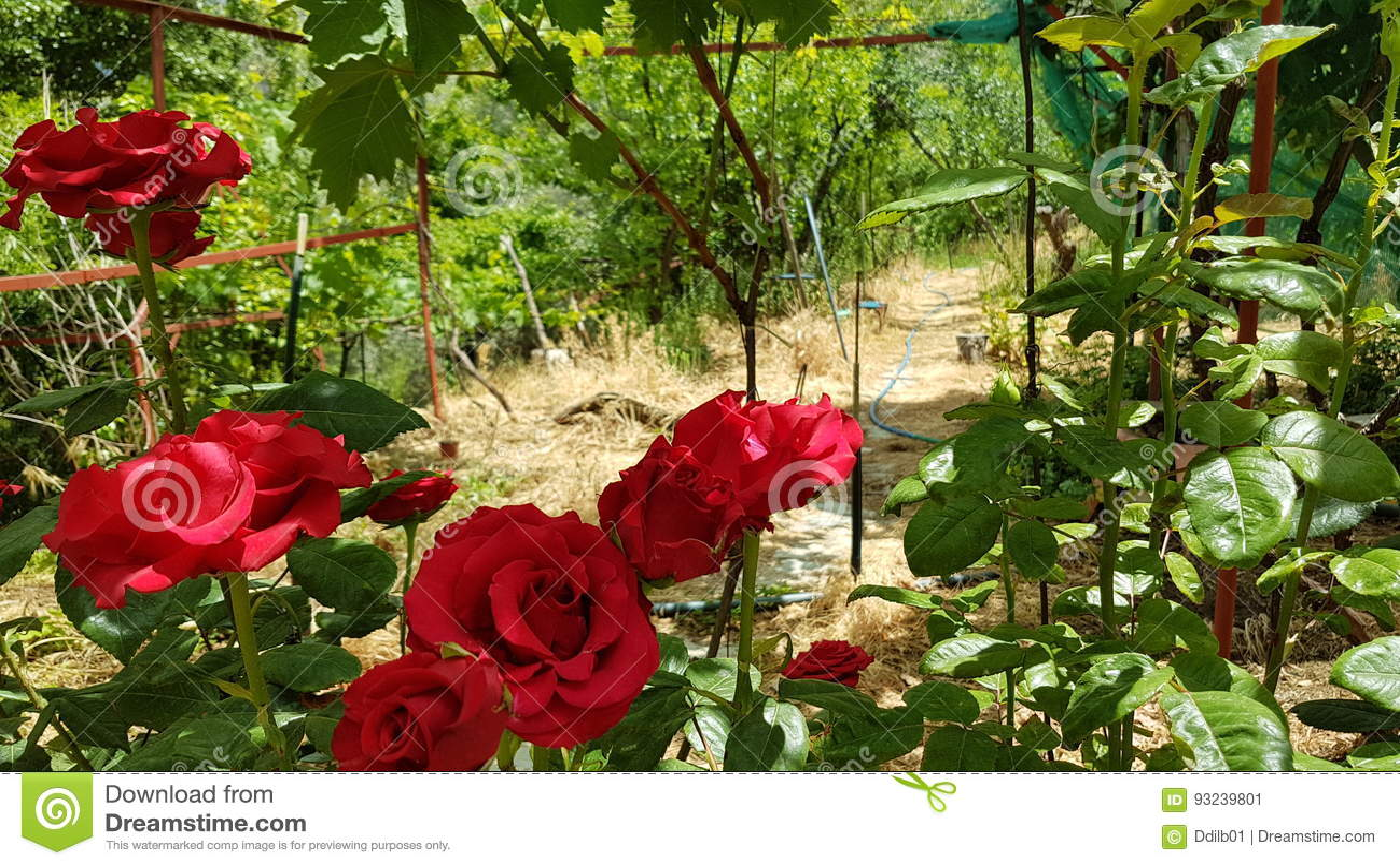 Sedie bianche su giardini di rose rossi u foto stock nix